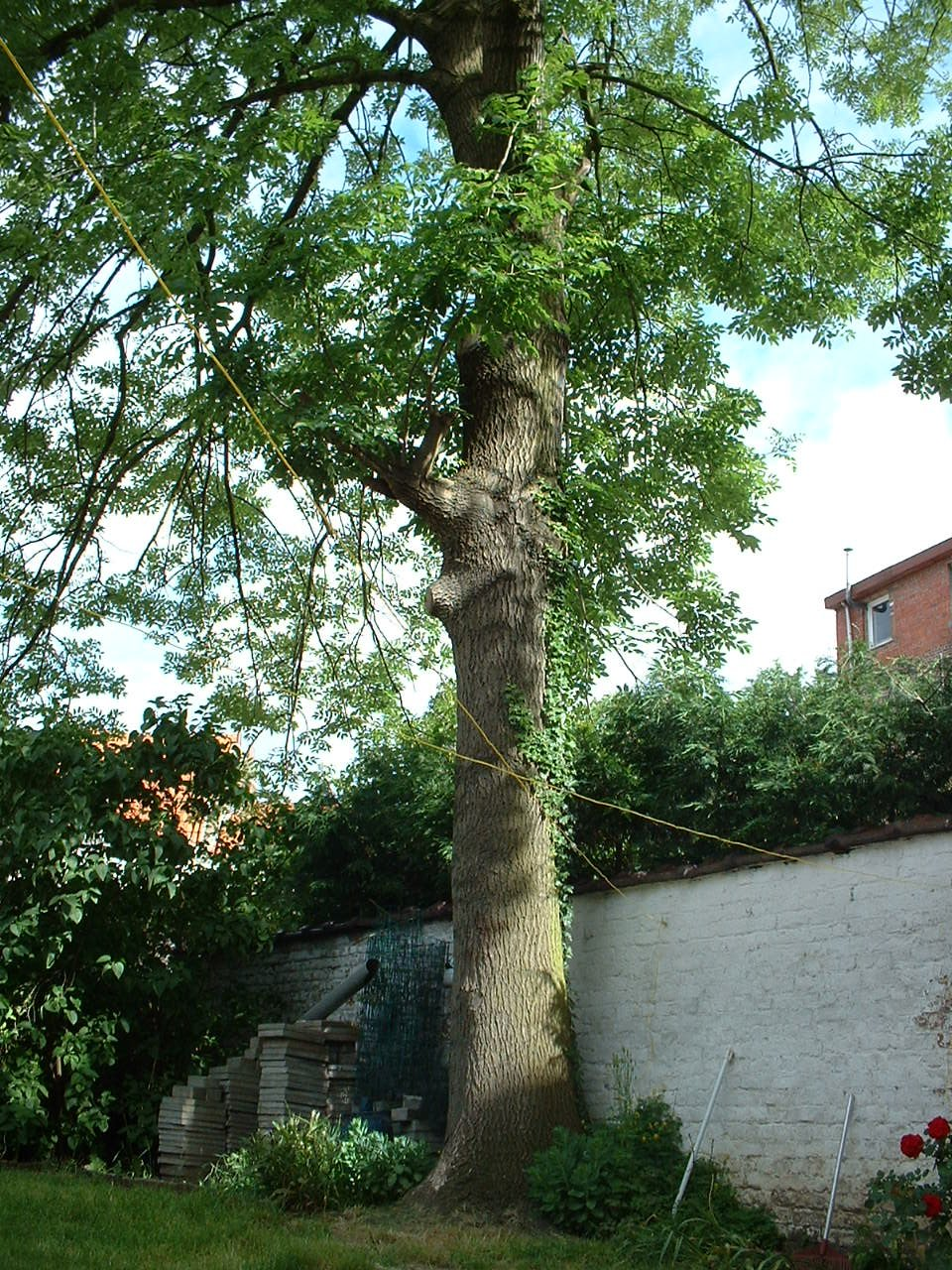 Frêne commun – Bruxelles, Rue Luther, 44 –  27 Mai 2002
