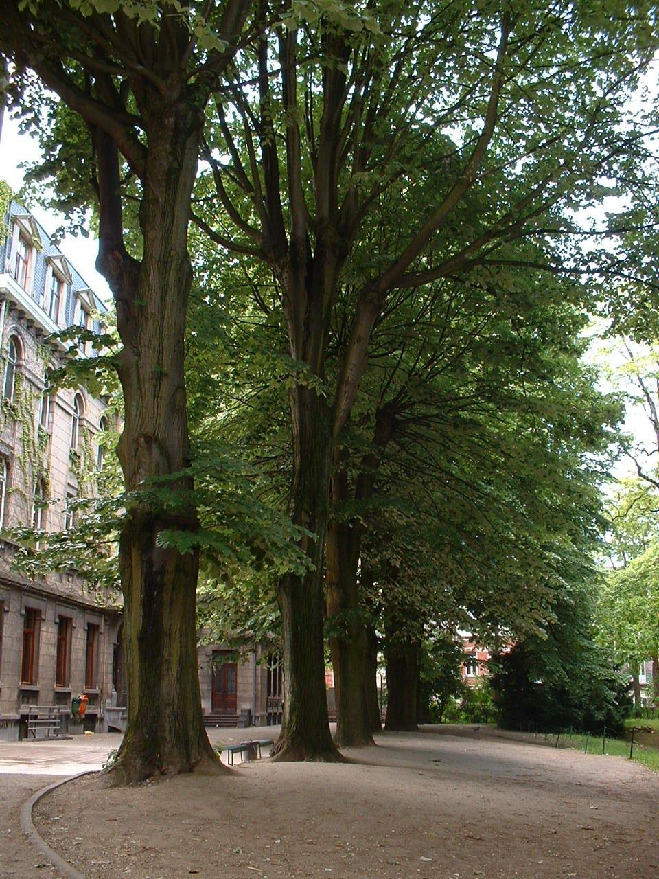 Tilleul argenté – Bruxelles, Rue des Confédérés, 70 –  27 Mai 2002