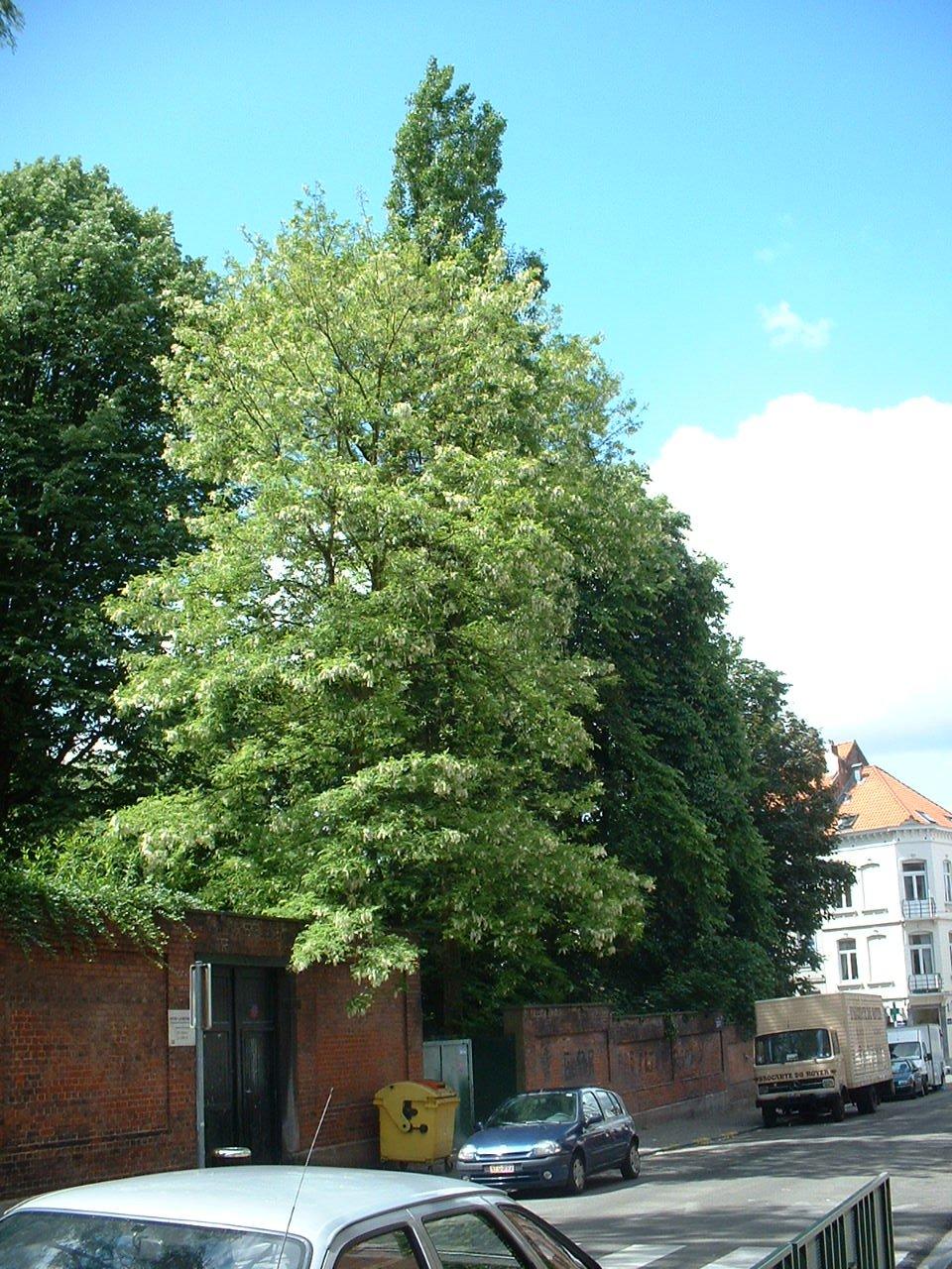 Gewone acacia – Brussel, Eedgenotenstraat, 70 –  27 Mei 2002
