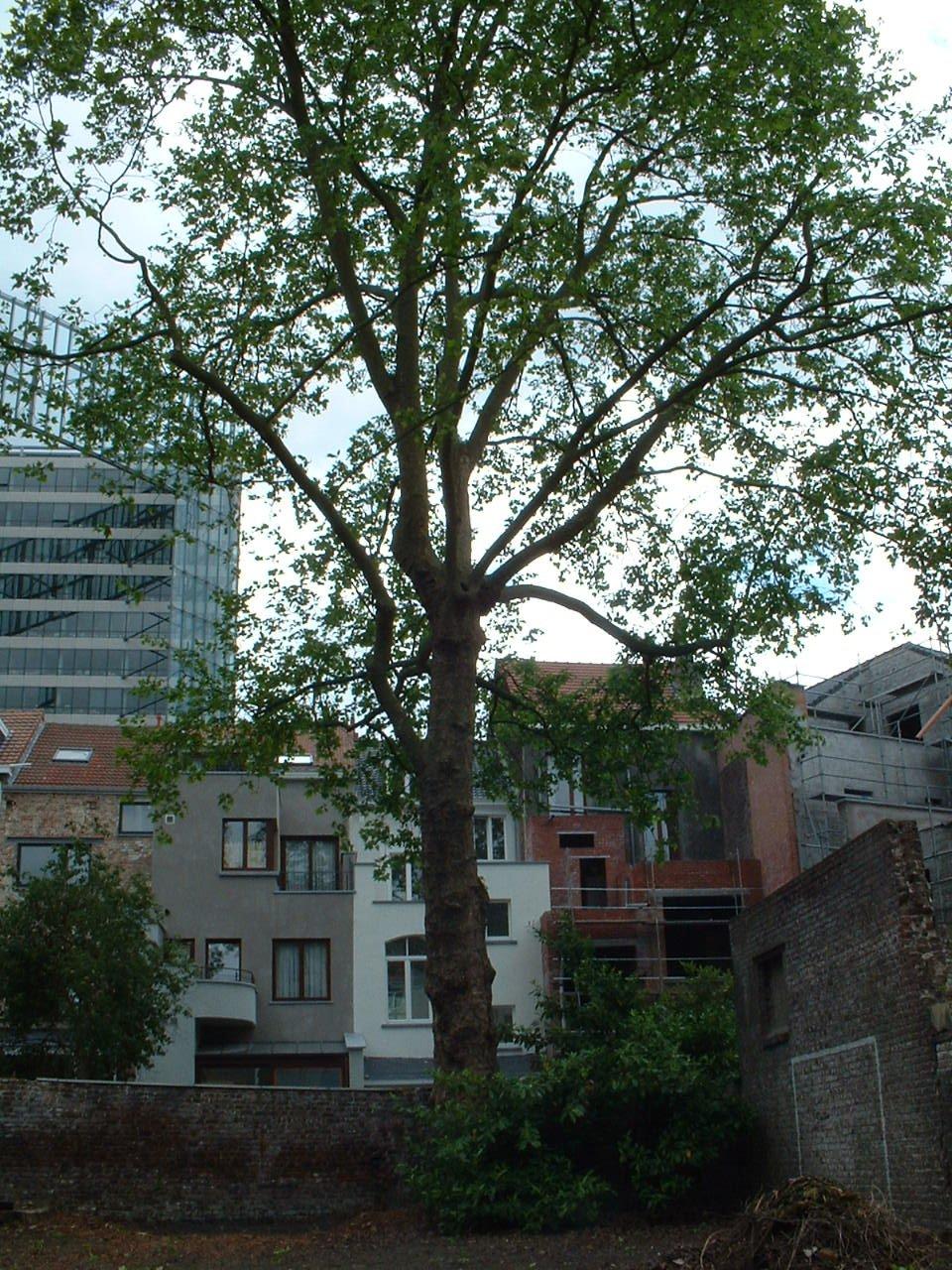 Gewone plataan – Brussel, Stevinstraat, 81 –  27 Mei 2002
