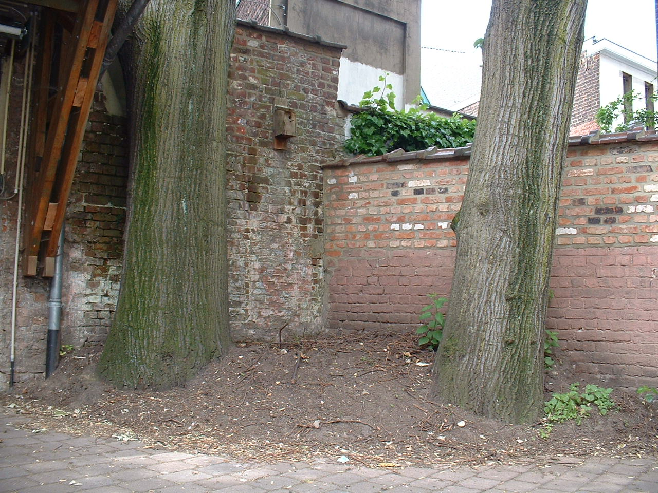Tilleul argenté – Bruxelles, Rue de la Sablonnière, 29 –  28 Mai 2002