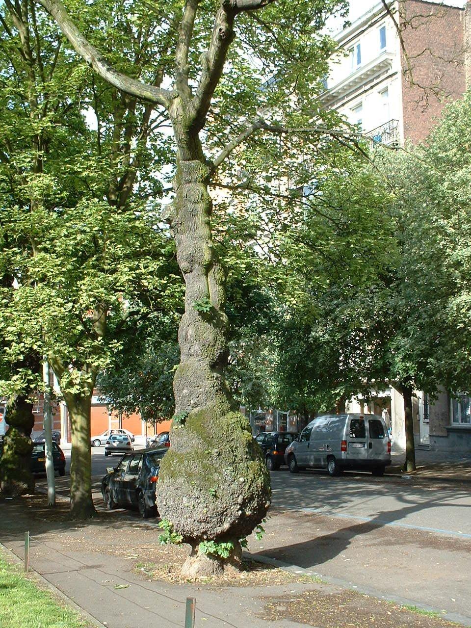 Erable plane – Schaerbeek, Place des Chasseurs Ardennais –  29 Mai 2002