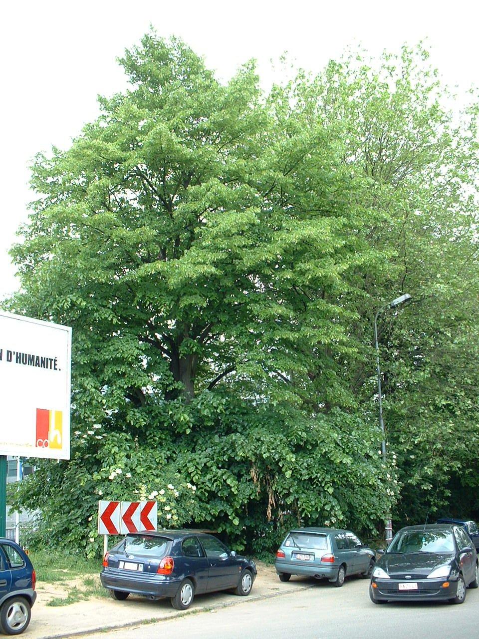 Tilia sp – Schaerbeek, Rue Colonel Bourg –  30 Mai 2002