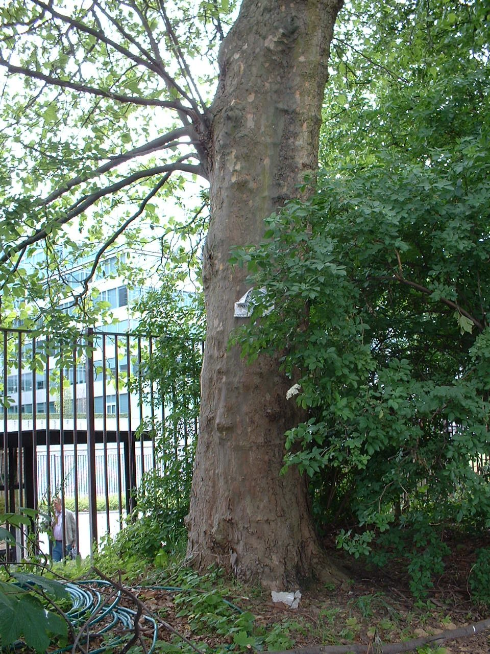 Platane à feuille d'érable – Schaerbeek, Rue Colonel Bourg –  30 Mai 2002
