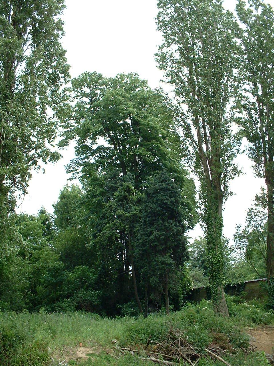 Tilleul argenté – Schaerbeek, Boulevard Auguste Reyers, 132 –  30 Mai 2002