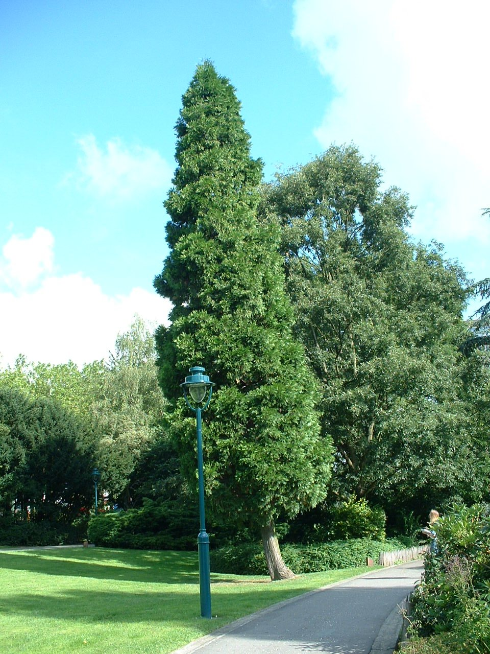 Calocedrus decurrens 'Columnaris' – Oudergem, Senypark, Vorstlaan –  22 Juli 2002