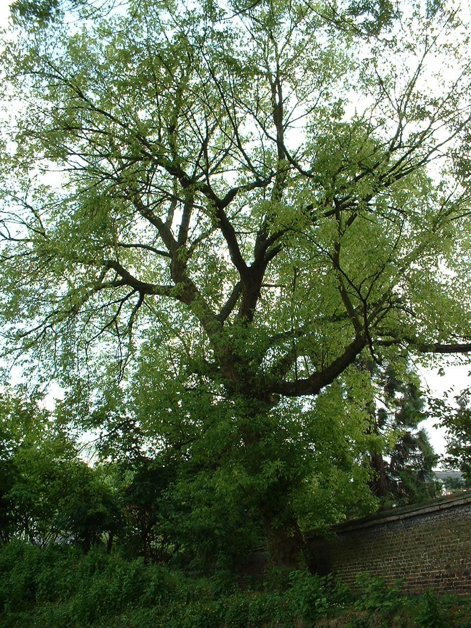 Erable à feuilles de frêne – Schaerbeek, Rue Frédéric Pelletier, 37 –  31 Mai 2002