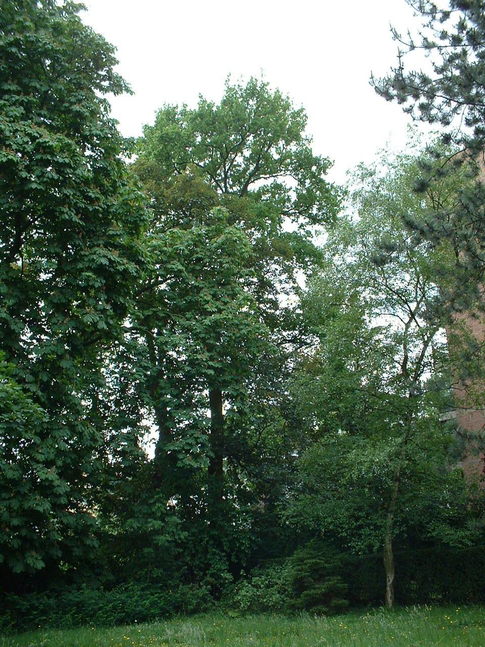 Chêne pédonculé – Schaerbeek, Rue de Linthout, 89a –  31 Mai 2002