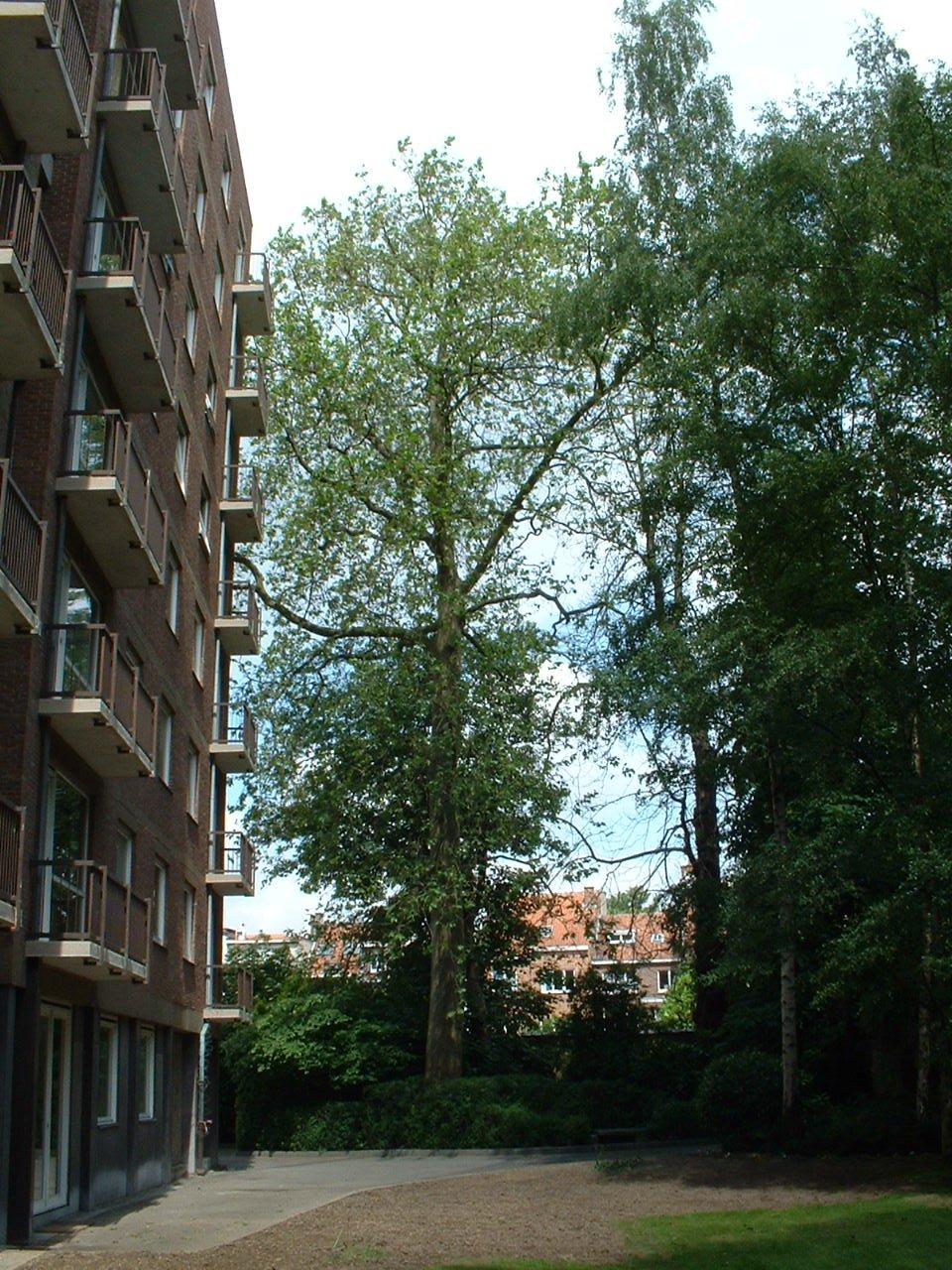 Platane à feuille d'érable – Schaerbeek, Rue de Linthout, 89a –  31 Mai 2002