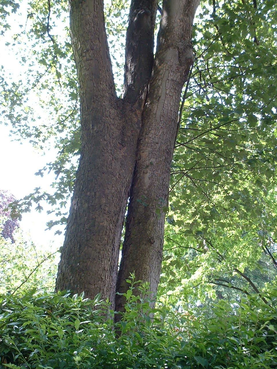 Erable sycomore – Schaerbeek, Place de Jamblinne de Meux, 14 –  31 Mai 2002