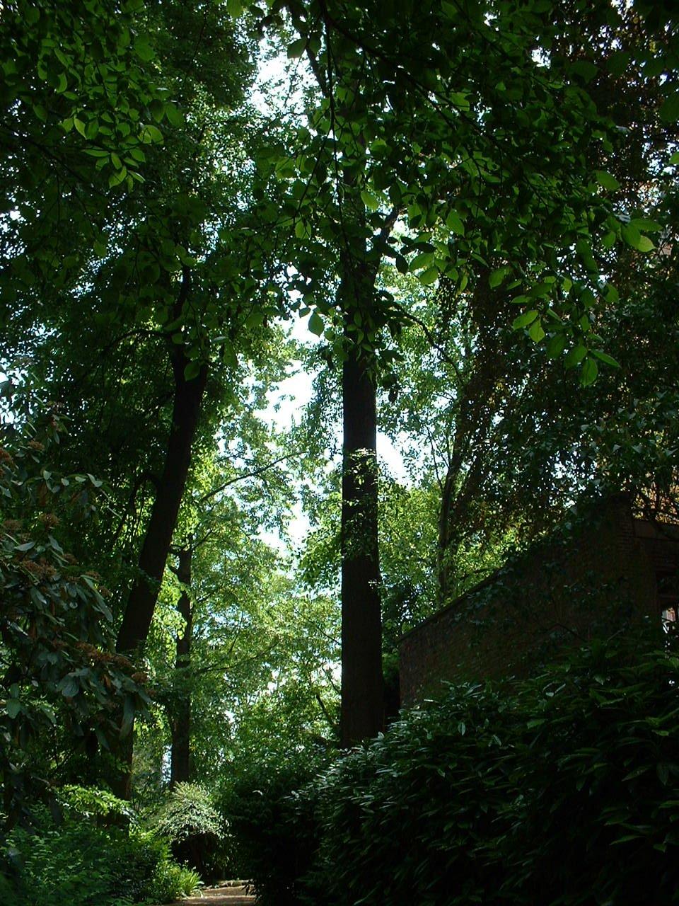 Orme commun/de montagne – Schaerbeek, Place de Jamblinne de Meux, 14 –  31 Mai 2002
