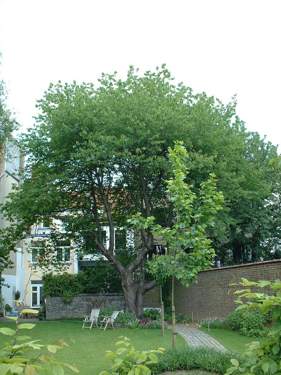 Merisier – Schaerbeek, Rue Léon Frédéric, 33 –  31 Mai 2002