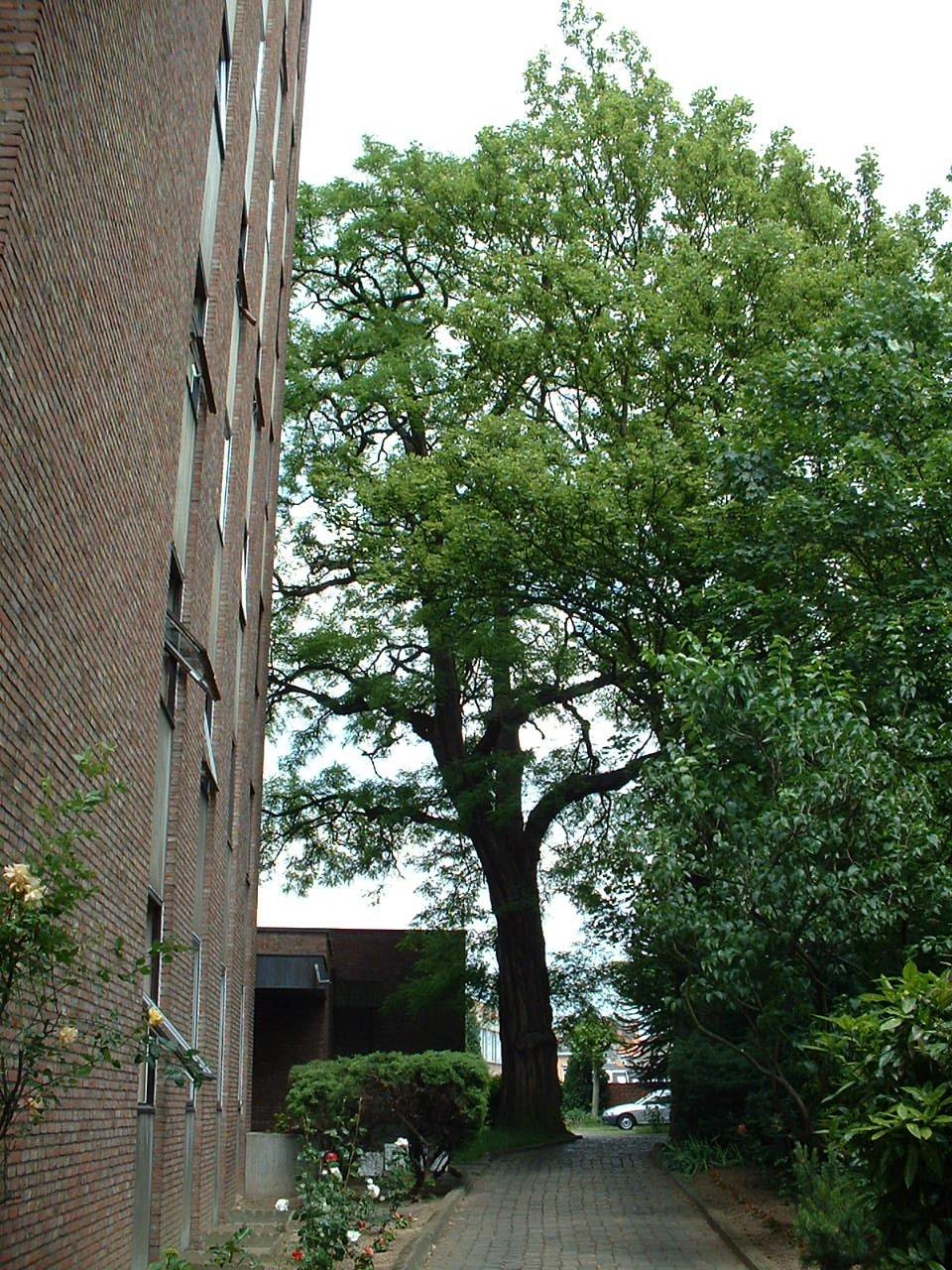 Robinier faux-acacia – Schaerbeek, Chaussée de Louvain, 437 –  04 Juin 2002