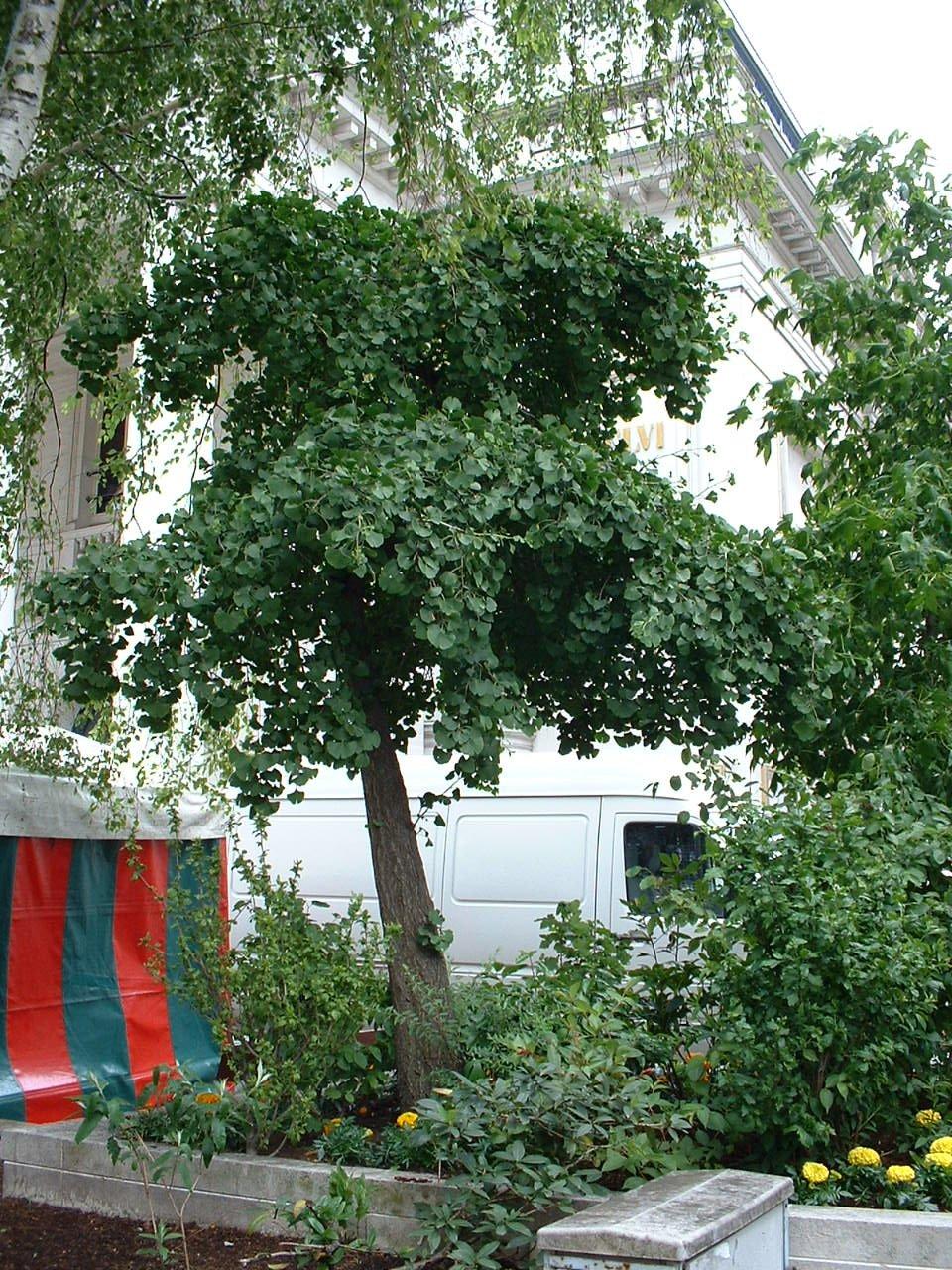 Ginkgo biloba 'Pendula' – Bruxelles, Place de la Monnaie –  12 Juin 2002