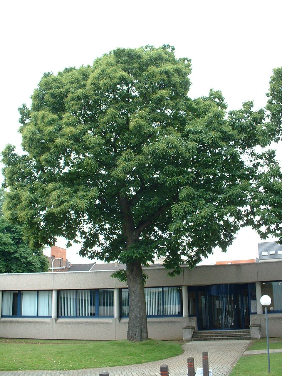 Tamme kastanje – Evere, Schiphollaan, 2 –  14 Juni 2002