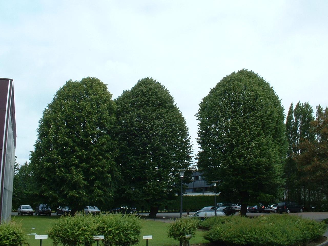Tilleul à larges feuilles – Evere, Avenue Jules Bordet, 11 –  14 Juin 2002