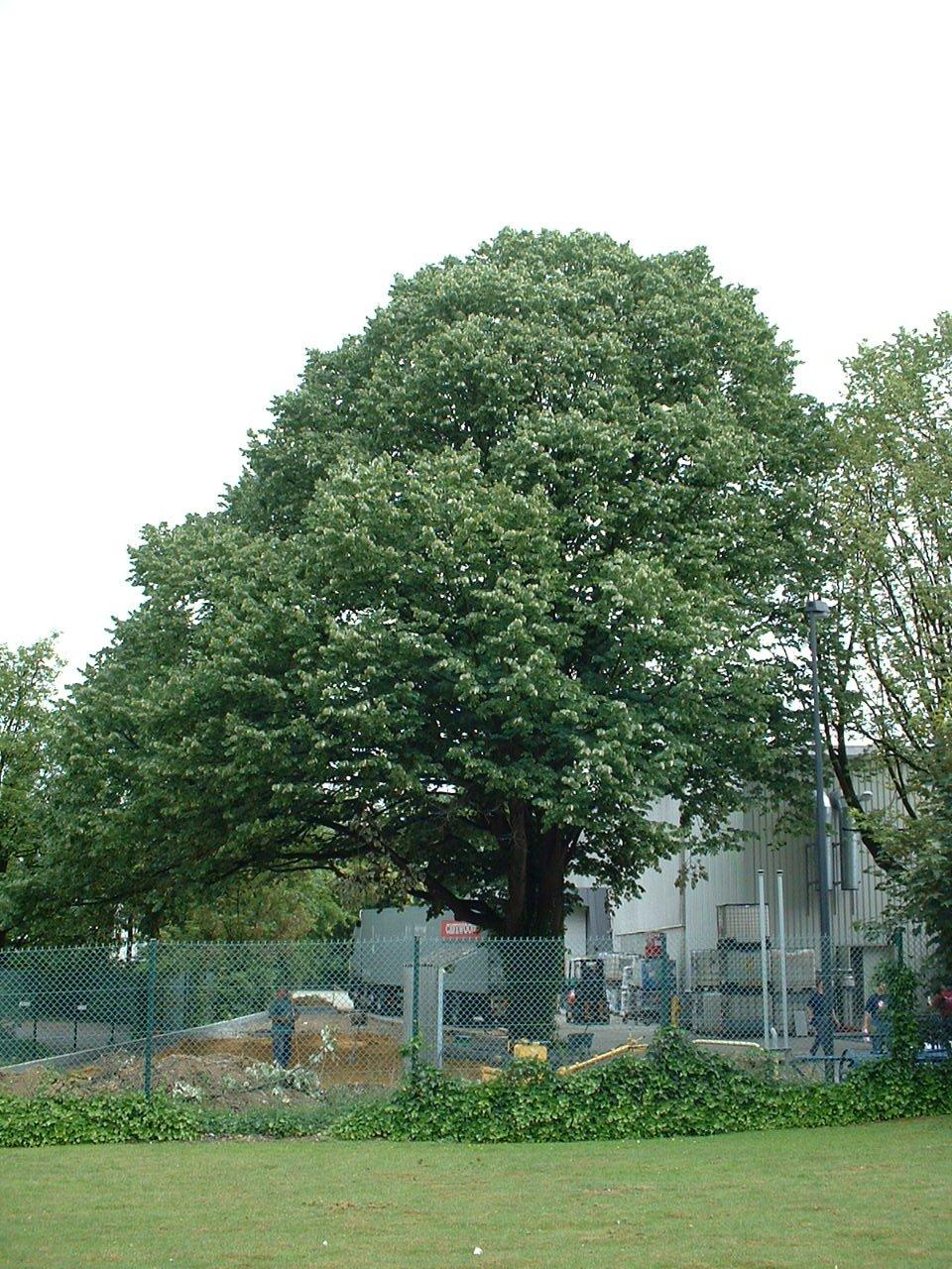 Tilleul argenté – Evere, Avenue de Bâle, 8 –  14 Juin 2002