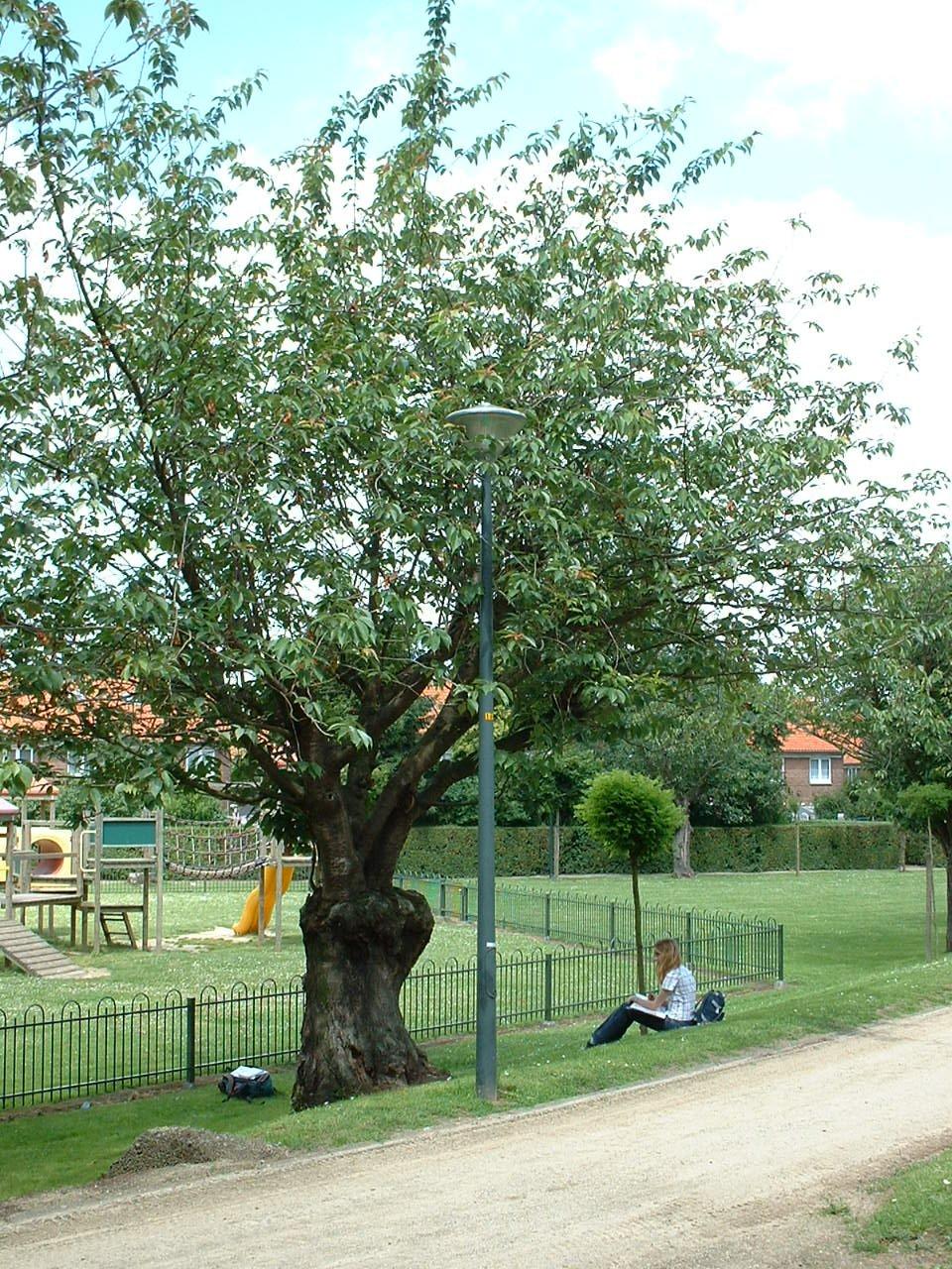 Cerisier du Japon – Evere, Chaussée de Louvain, 953 –  14 Juin 2002