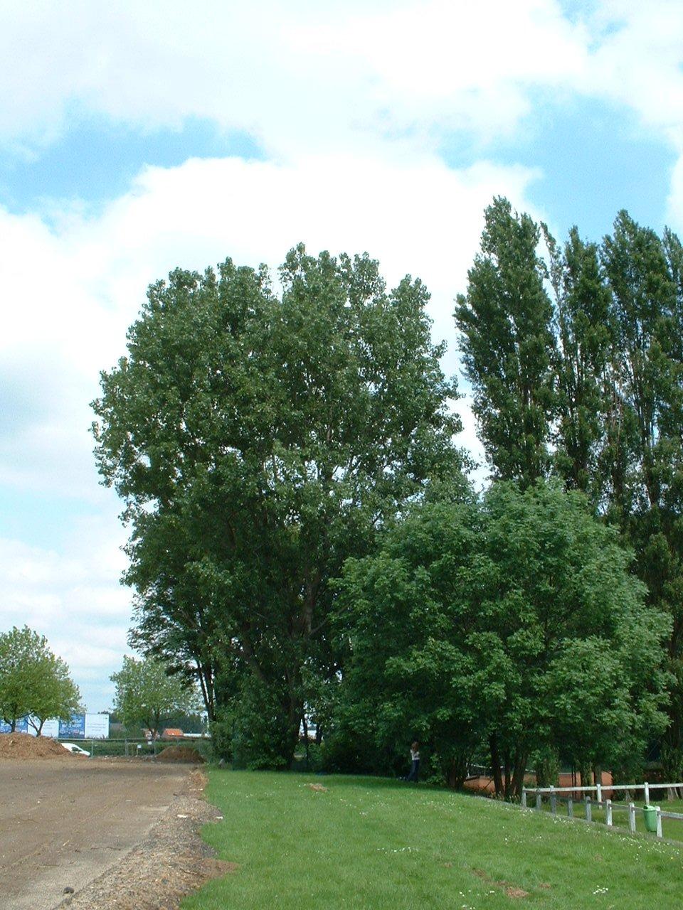Peuplier du Canada – Evere, Avenue des Communautés –  14 Juin 2002