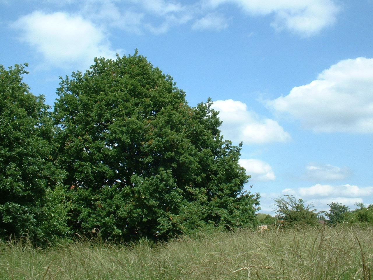 Chêne pédonculé – Evere, Rue du Maquis –  14 Juin 2002