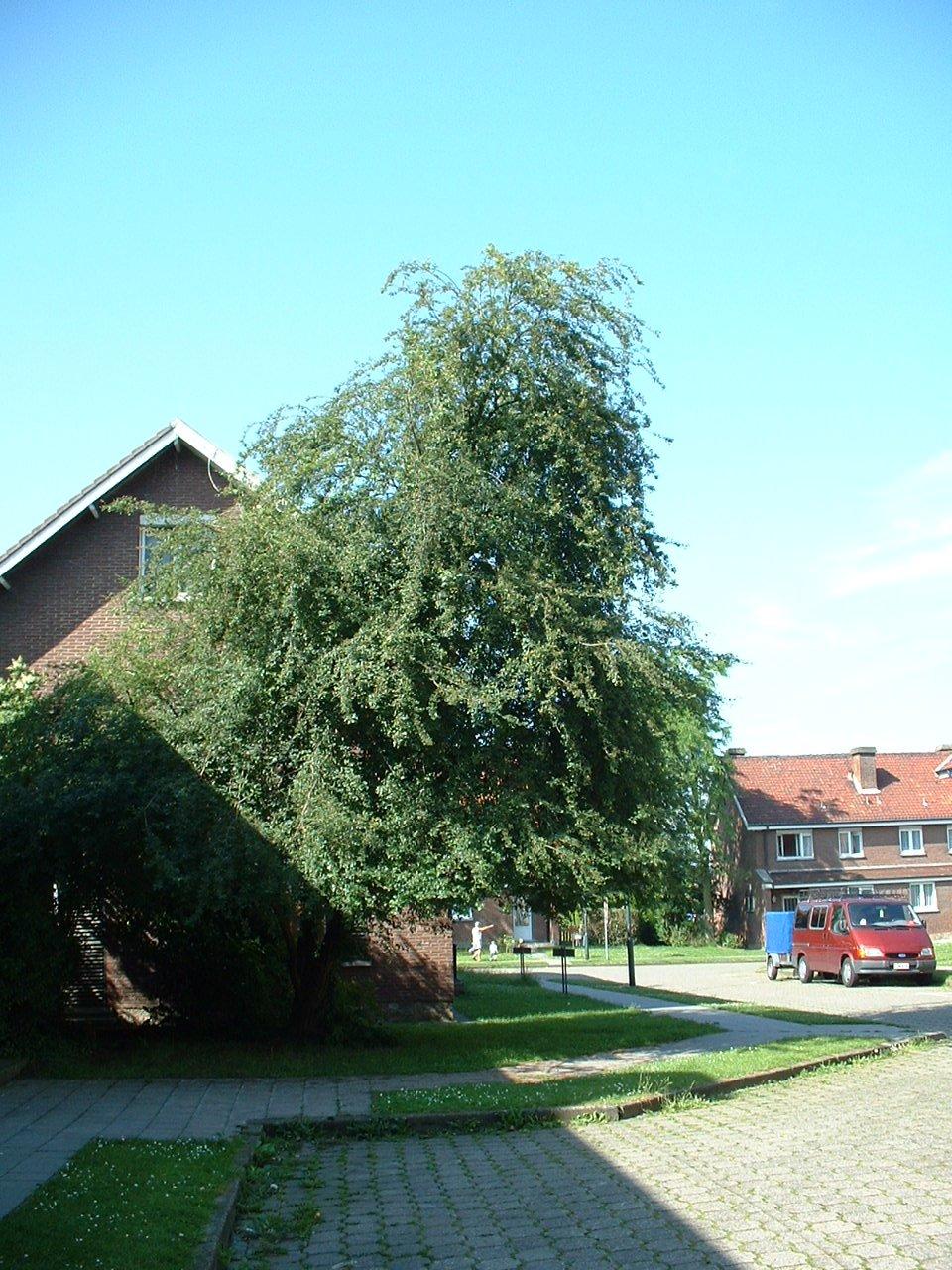 Aubépine à un style/ Epine blanche – Evere, Quartier Tornooiveld, Avenue de la Lance –  17 Juin 2002