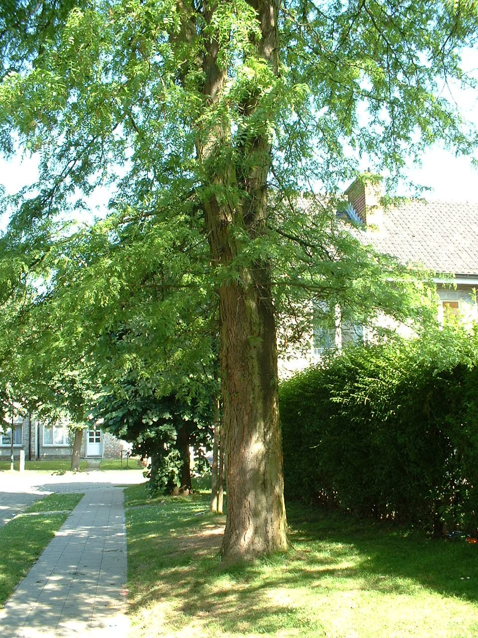 Févier d'Amérique, Quartier Tornooiveld,  17 Juin 2002