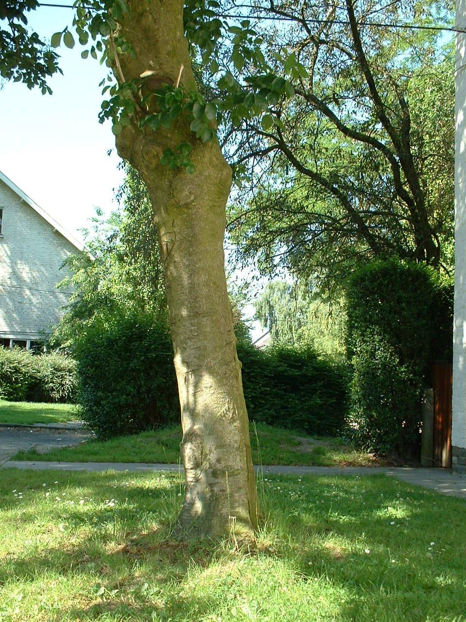 Frêne à fleurs/plumeux, Quartier Tornooiveld