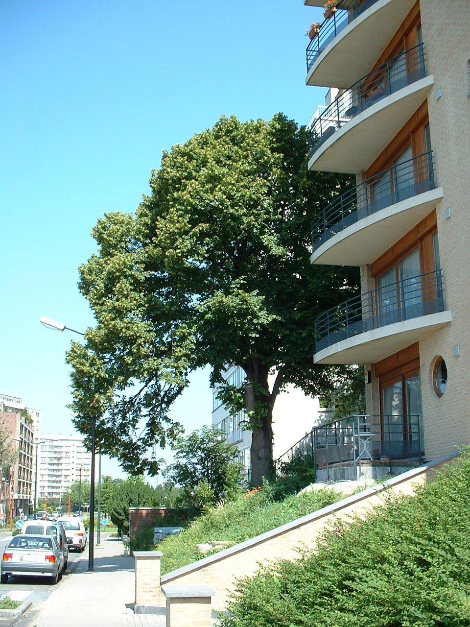Tilleul commun – Evere, Rue de Genève –  17 Juin 2002