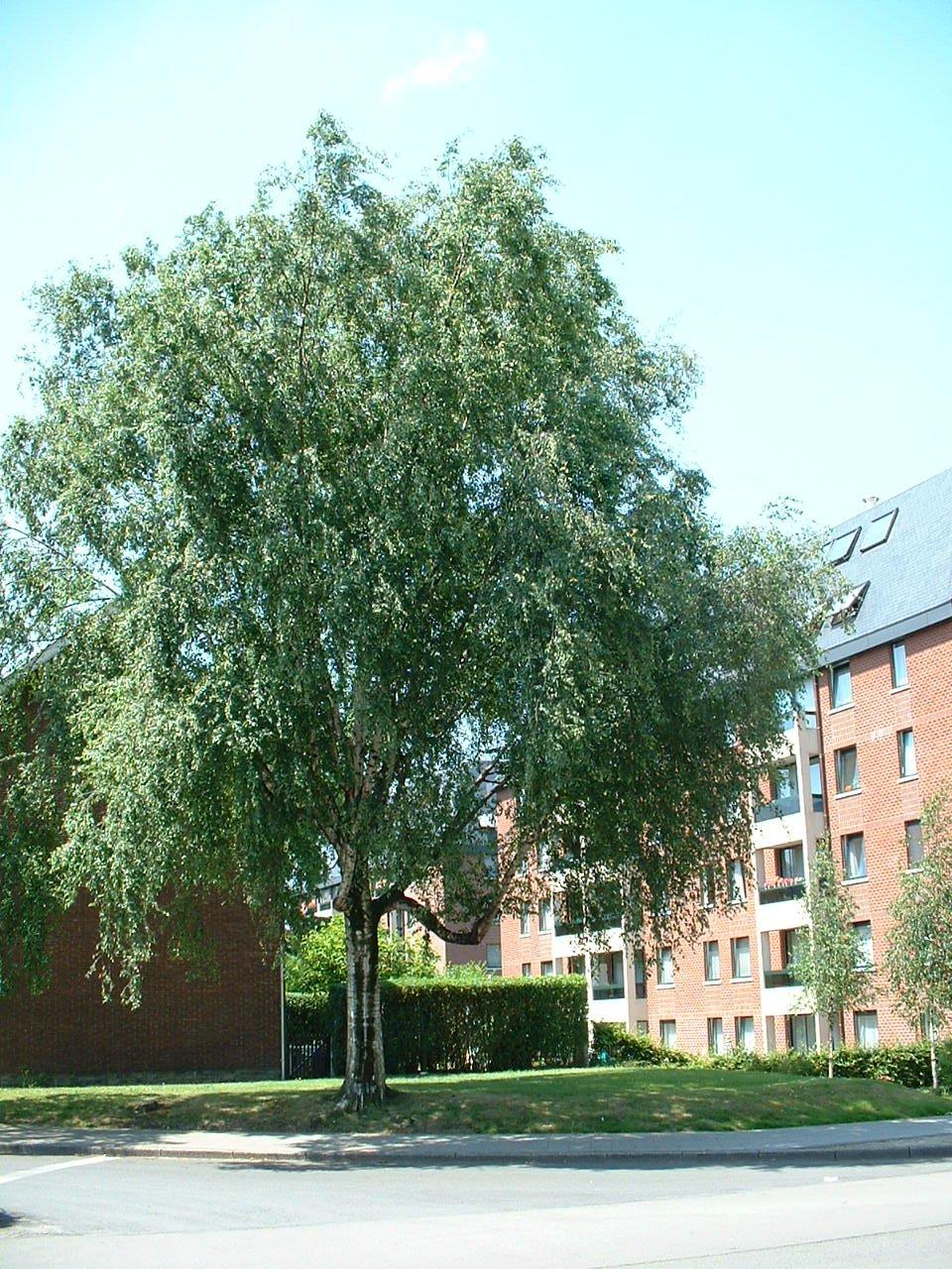 Bouleau verruqueux – Evere, Quartier Tornooiveld, Avenue de l'Optimisme –  17 Juin 2002