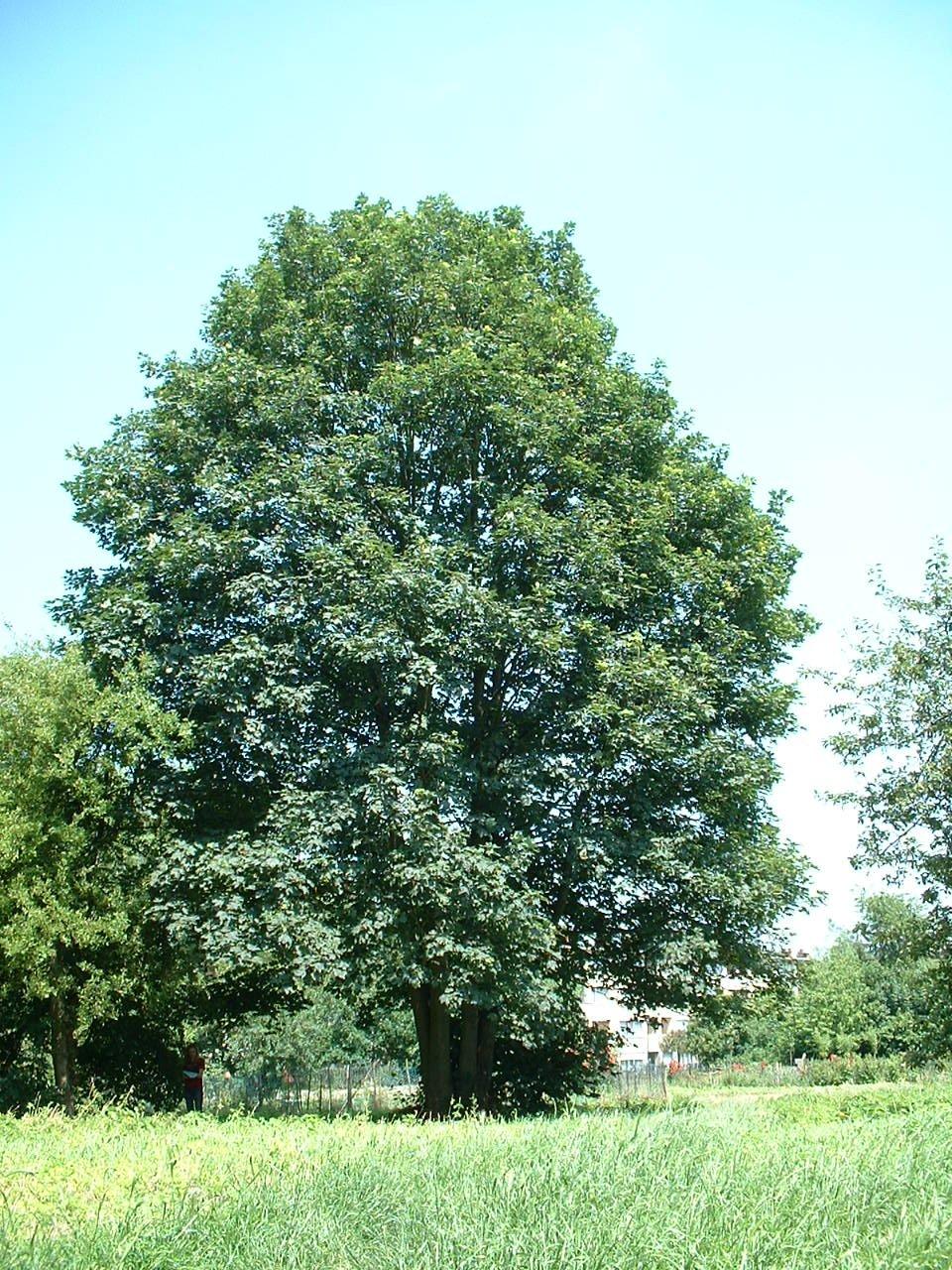 Erable sycomore – Evere, Avenue Franz Guillaume –  17 Juin 2002