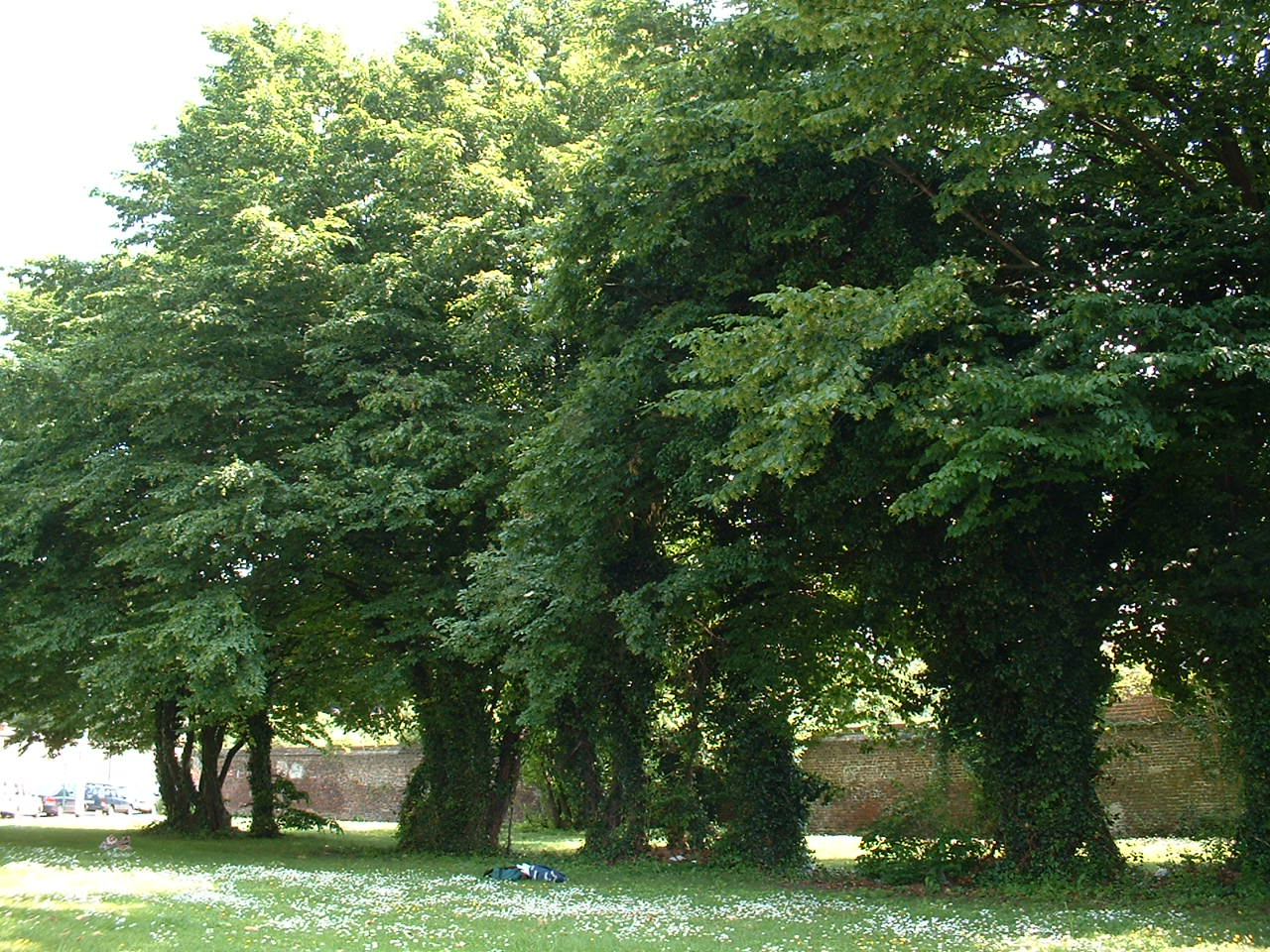 carpinus betulus arbre charme commun image. Black Bedroom Furniture Sets. Home Design Ideas