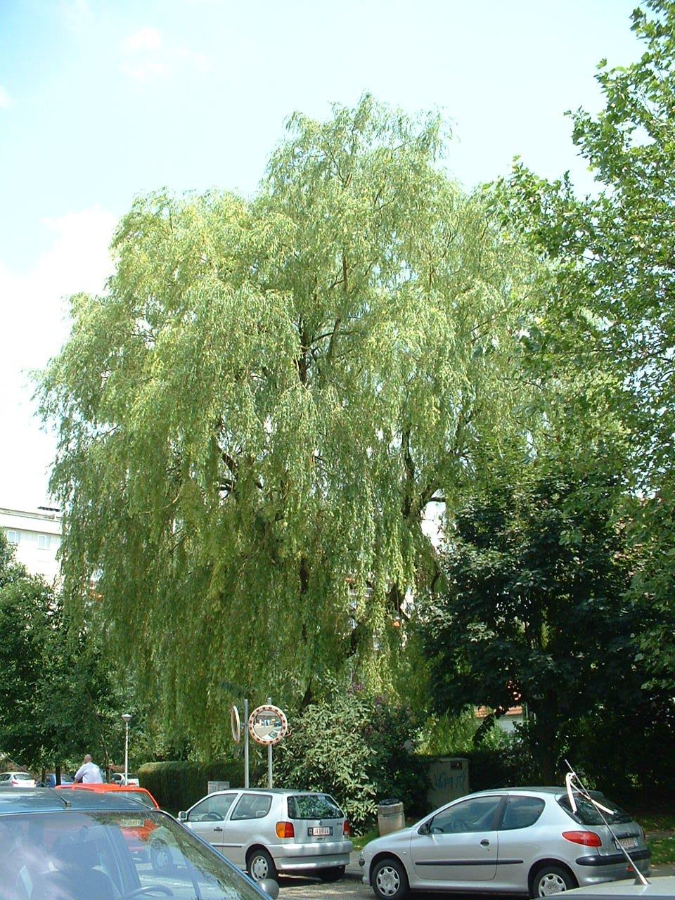 Saule pleureur – Evere, Tuinbouw, 2 –  18 Juin 2002