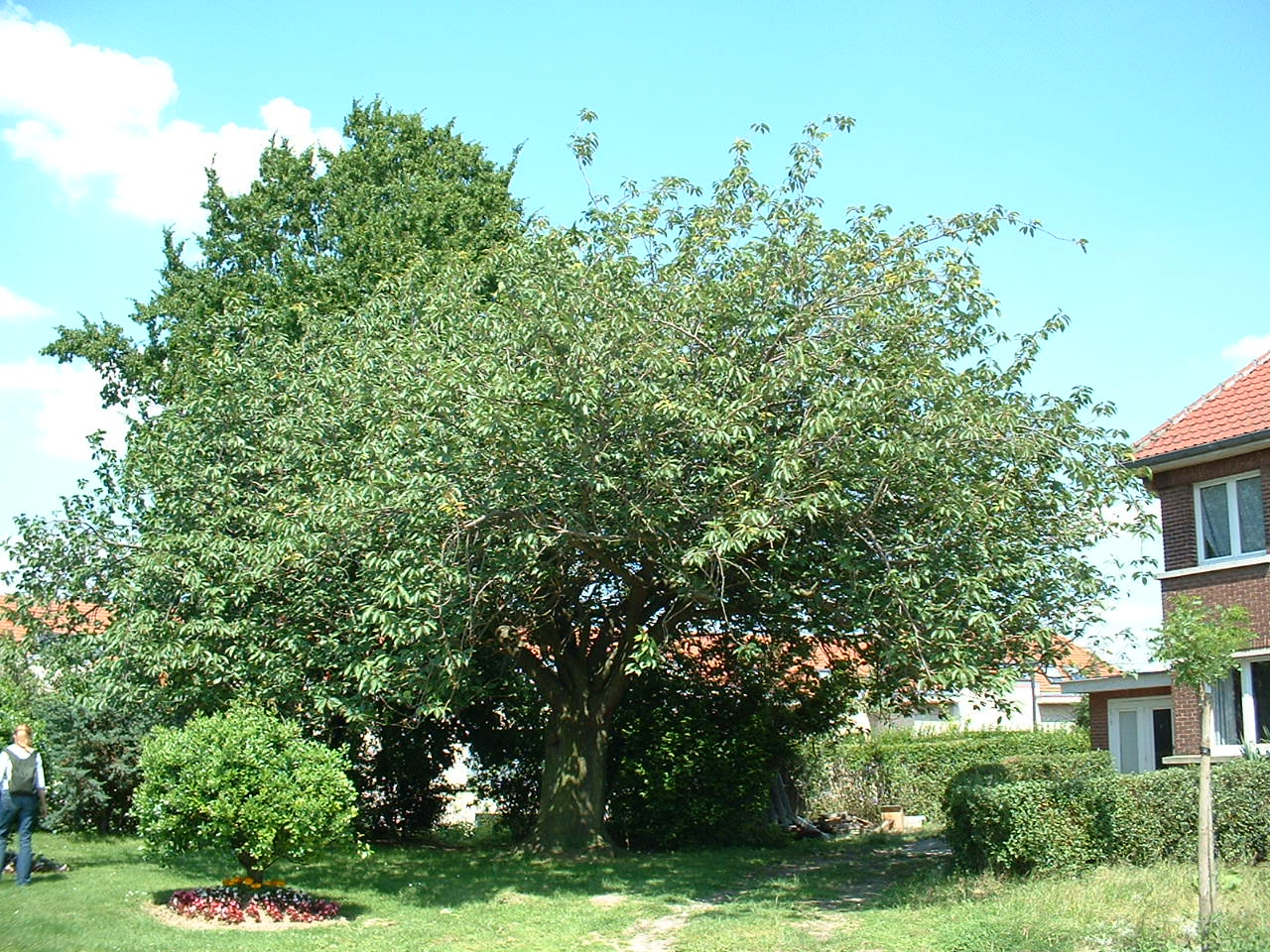 Cerisier du Japon – Woluwé-Saint-Lambert, Clos des Peupliers –  24 Juin 2002