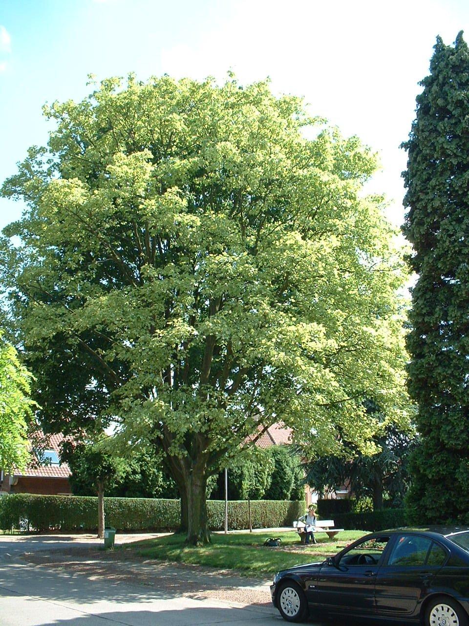 Acer pseudoplatanus f. aureovariegatum – Woluwé-Saint-Lambert, Clos des Peupliers –  24 Juin 2002