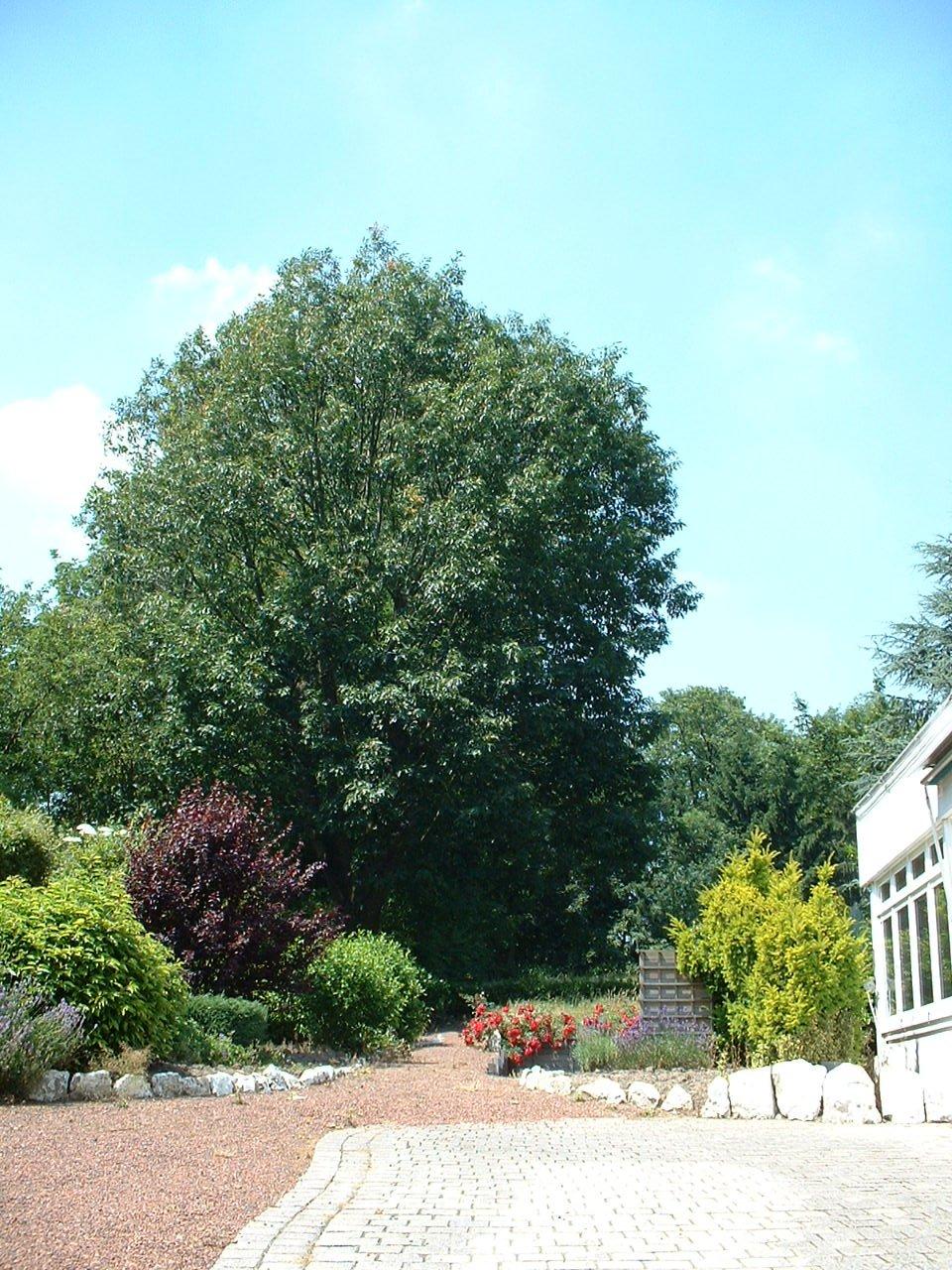 Chêne rouge d'Amérique – Woluwé-Saint-Lambert, Rue Neerveld, 1 –  26 Juin 2002