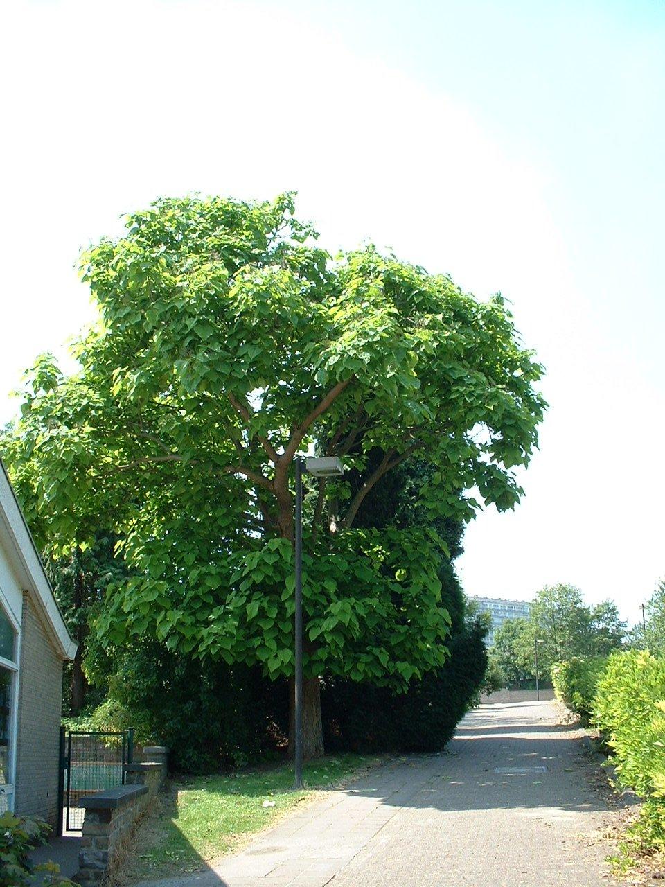 Catalpa commun – Woluwé-Saint-Lambert, Rue Neerveld –  26 Juin 2002