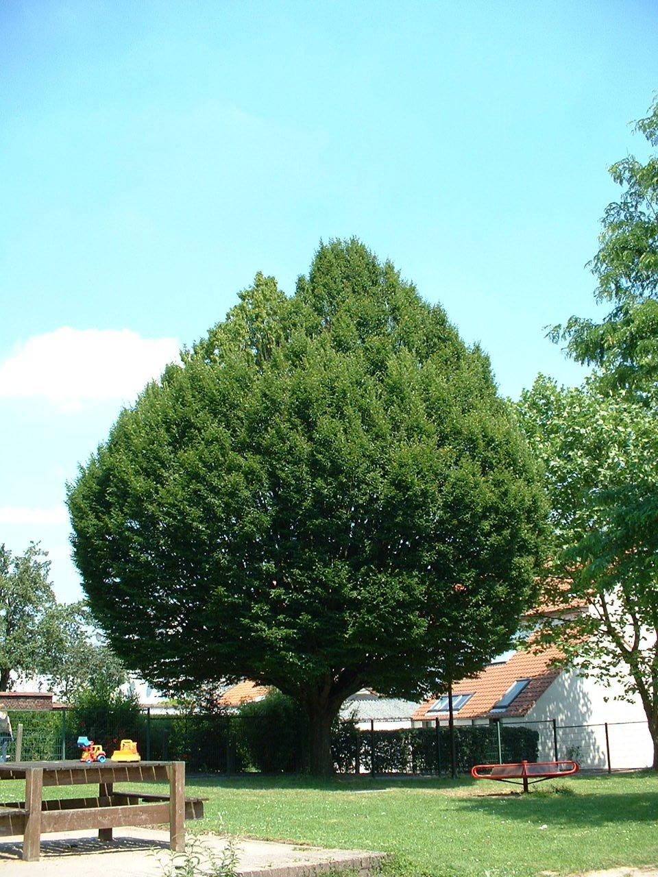 Carpinus betulus f. fastigiata – St.- Lambrechts - Woluwe, Neerveldstraat –  26 Juni 2002