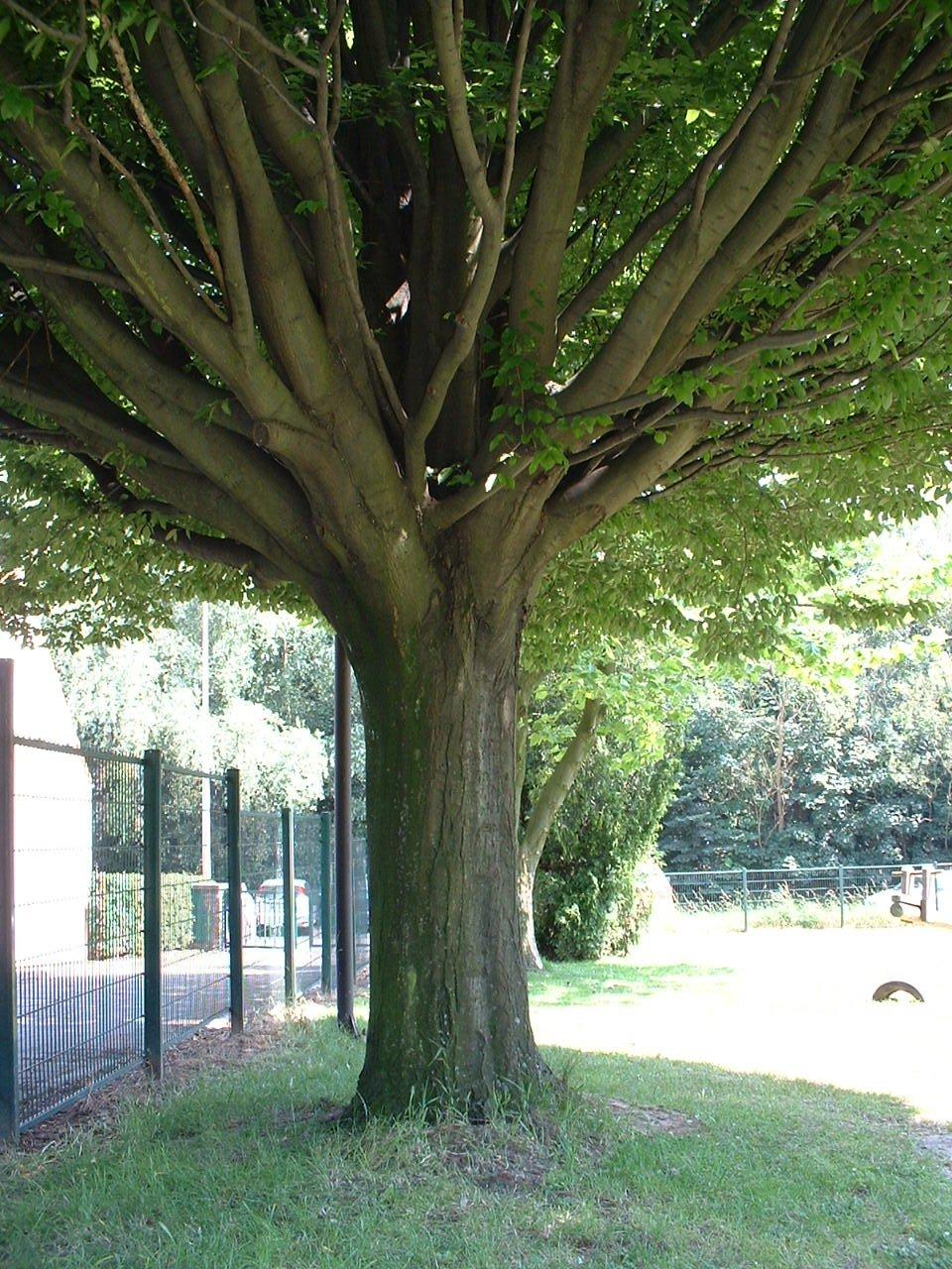 Carpinus betulus f. fastigiata,