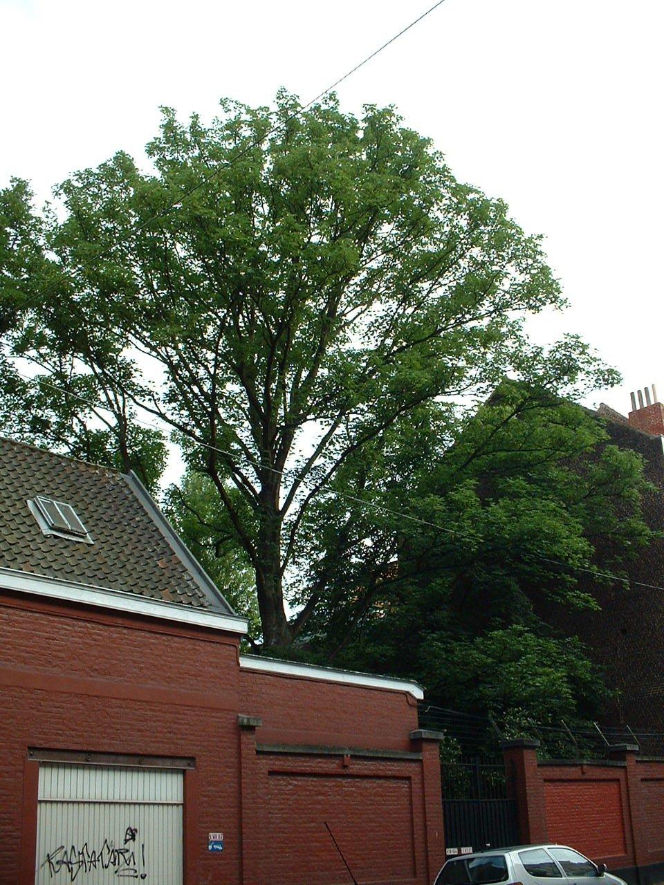 Erable sycomore – Bruxelles, Rue Van Campenhout, 34 –  27 Juin 2002