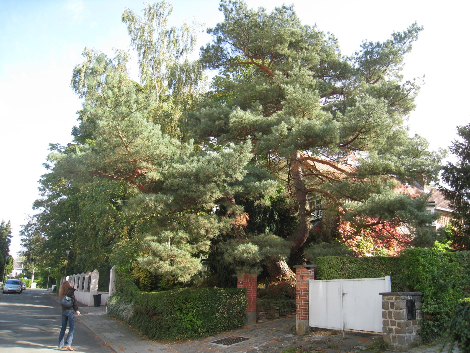 Pin sylvestre – Woluwé-Saint-Lambert, Avenue du Bois de Sapins, 56 –  13 Octobre 2009