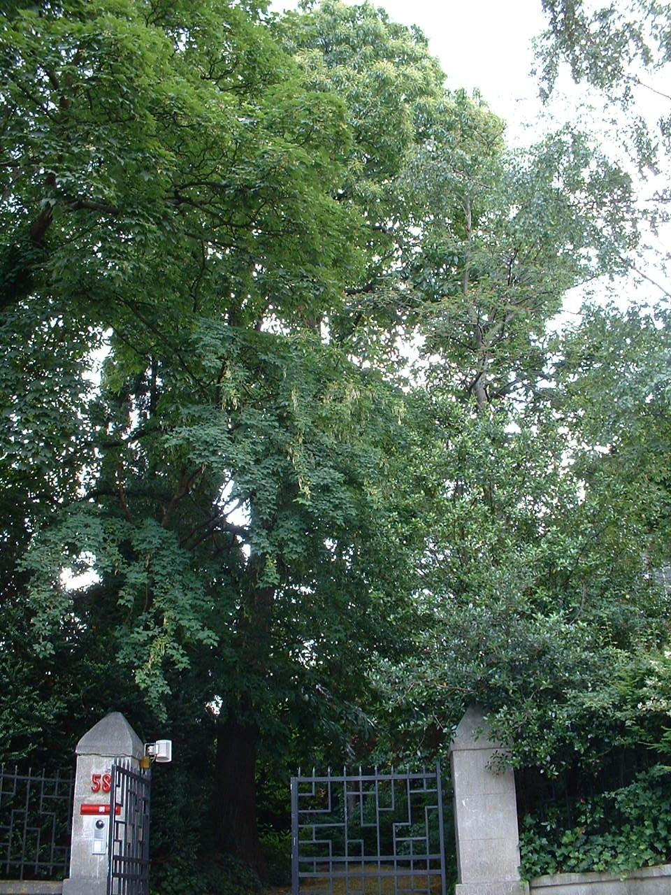 Châtaignier – Woluwé-Saint-Lambert, Avenue du Bois de Sapins, 58 –  27 Juin 2002