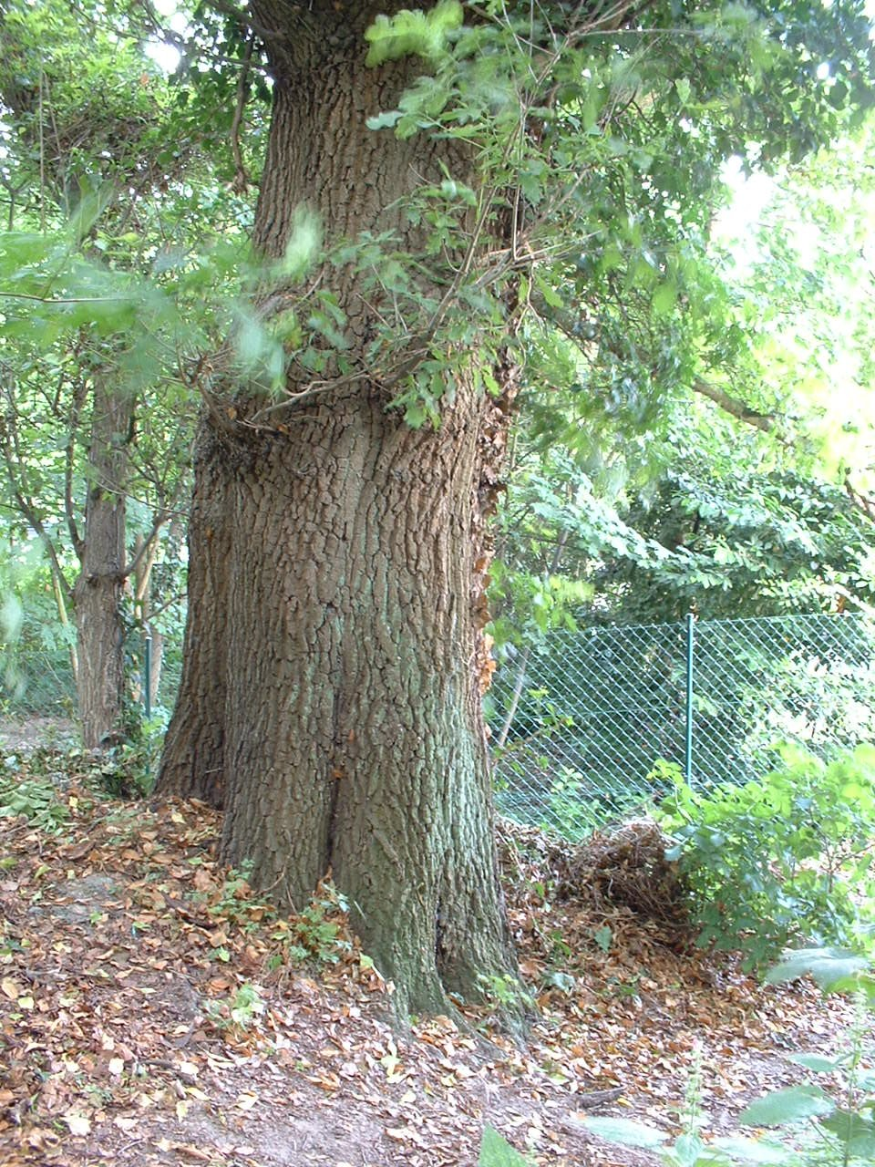 Chêne pédonculé – Woluwé-Saint-Lambert, Avenue Jean-François Debecker, 10 –  27 Juin 2002