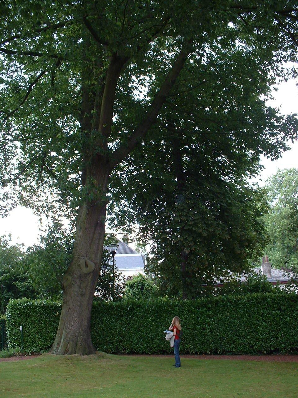 Chêne rouge d'Amérique – Watermael-Boitsfort, Avenue Thomson, 1 –  04 Juillet 2002