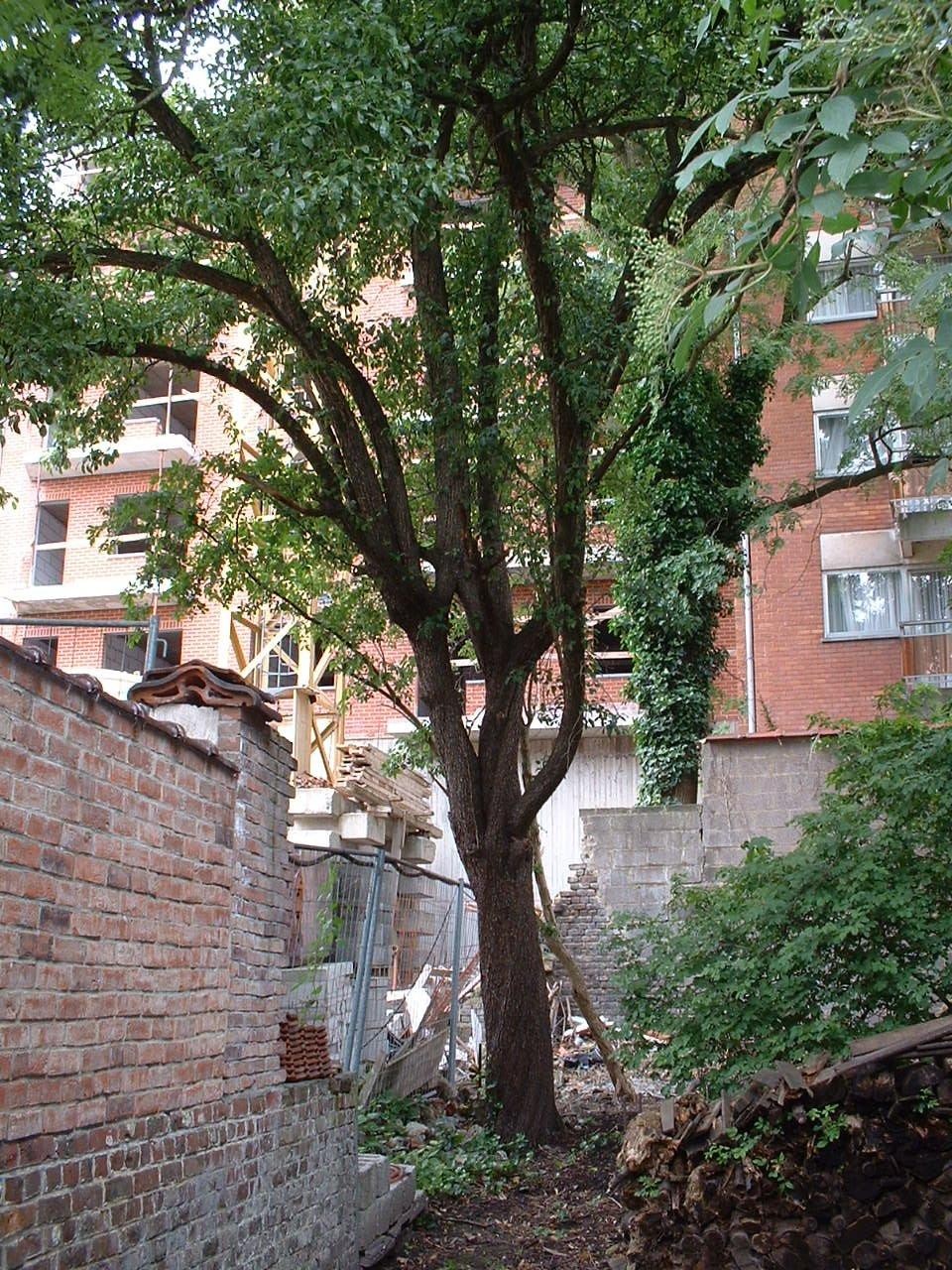 Poirier cultivé – Bruxelles, Rue Saint-Quentin, 31 –  05 Juillet 2002