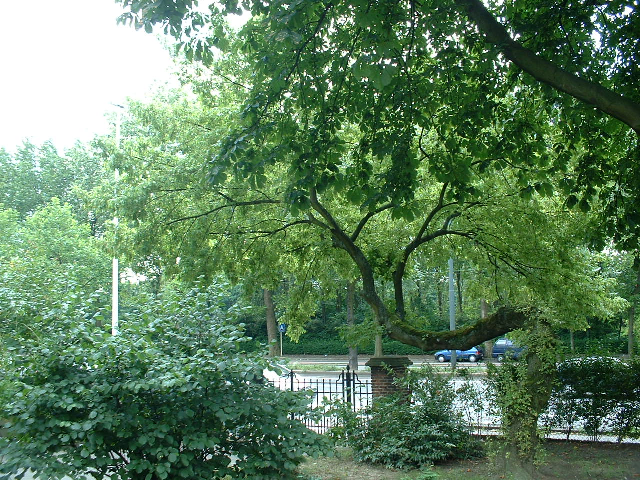 Erable à feuilles de frêne – Schaerbeek, Avenue des Héliotropes, 1 –  08 Juillet 2002