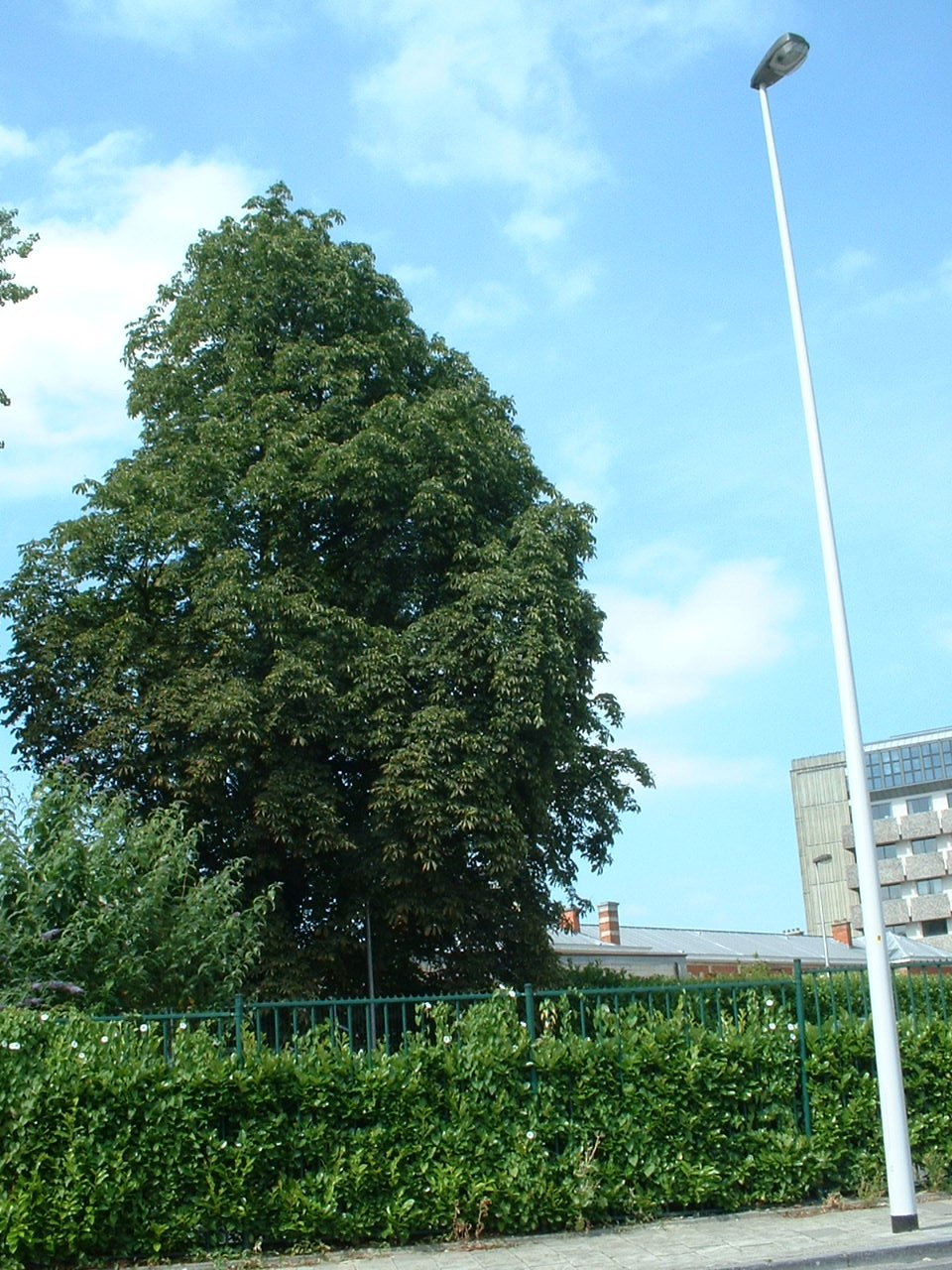Marronnier commun – Schaerbeek, Chaussée de Haecht, 571 –  08 Juillet 2002