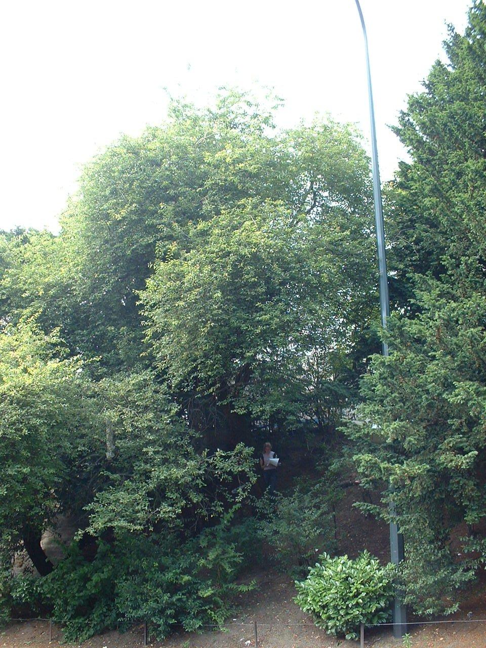 Prunus cerasifera – Schaerbeek, Avenue Britsiers, 5 –  08 Juillet 2002
