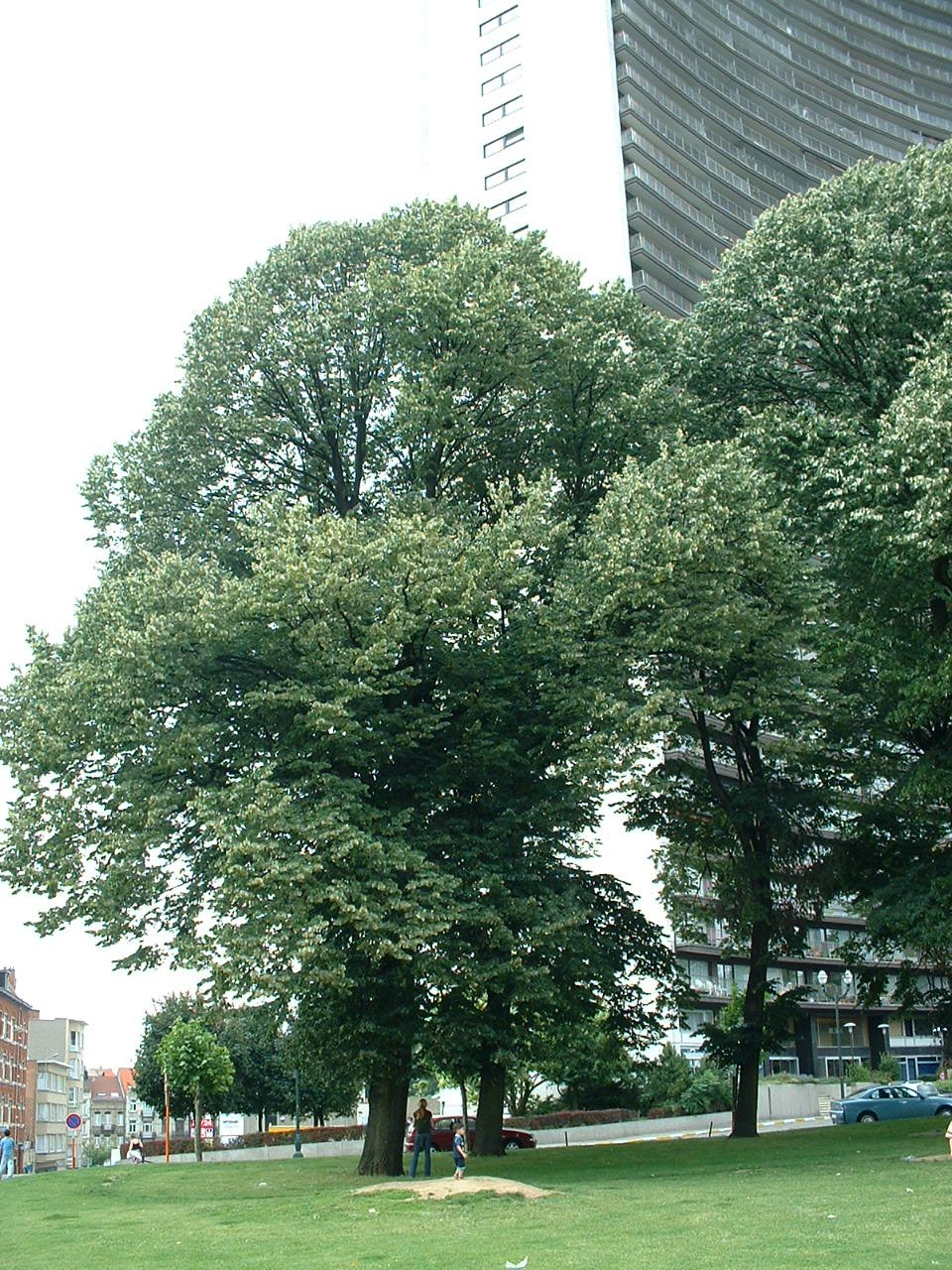 Tilleul argenté – Schaerbeek, Avenue Louis Bertrand –  09 Juillet 2002