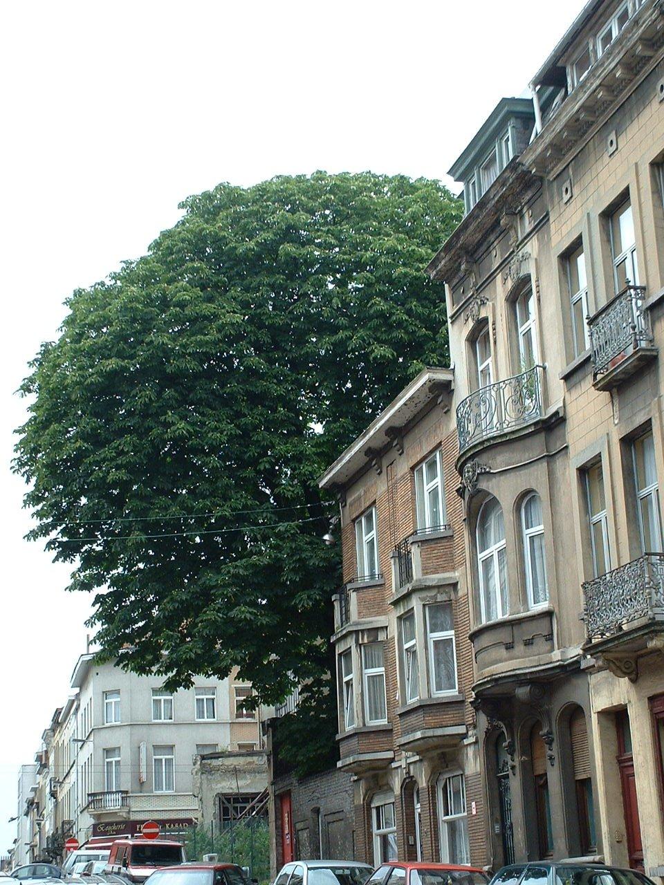 Marronnier commun – Schaerbeek, Rue de Robiano –  09 Juillet 2002