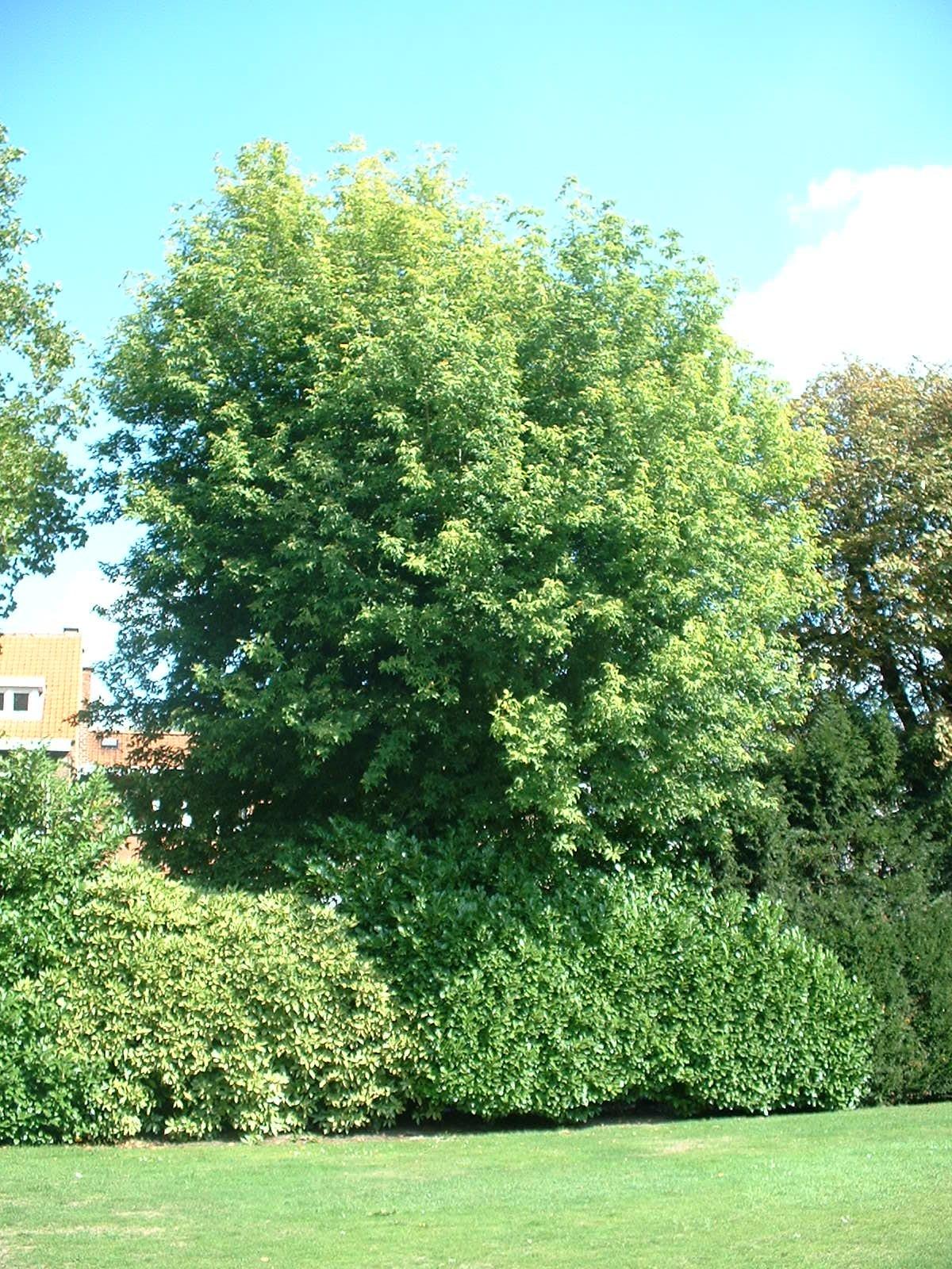 Erable à feuilles de frêne – Berchem-Sainte-Agathe, Avenue de la Basilique, 14 –  08 Septembre 2003